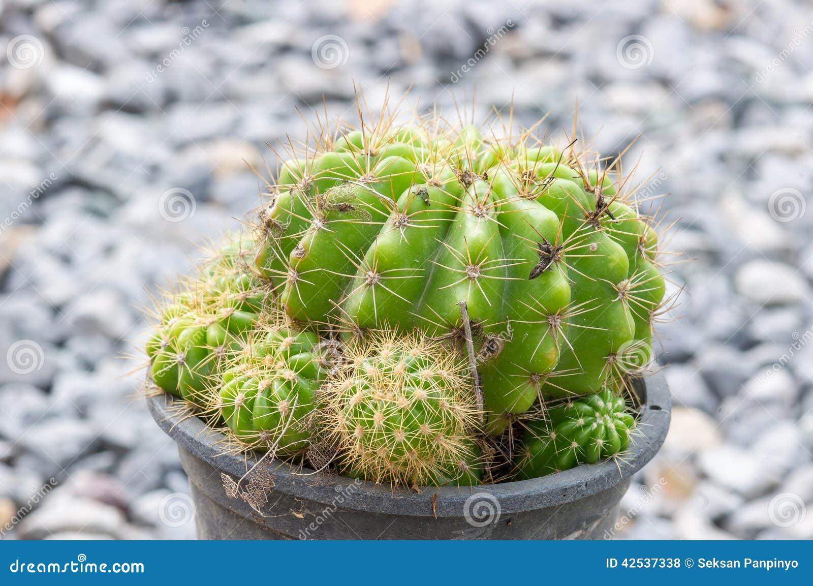 Cactus d or de bille