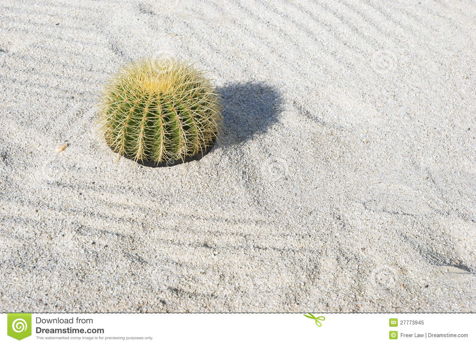 Cactus de baril d or