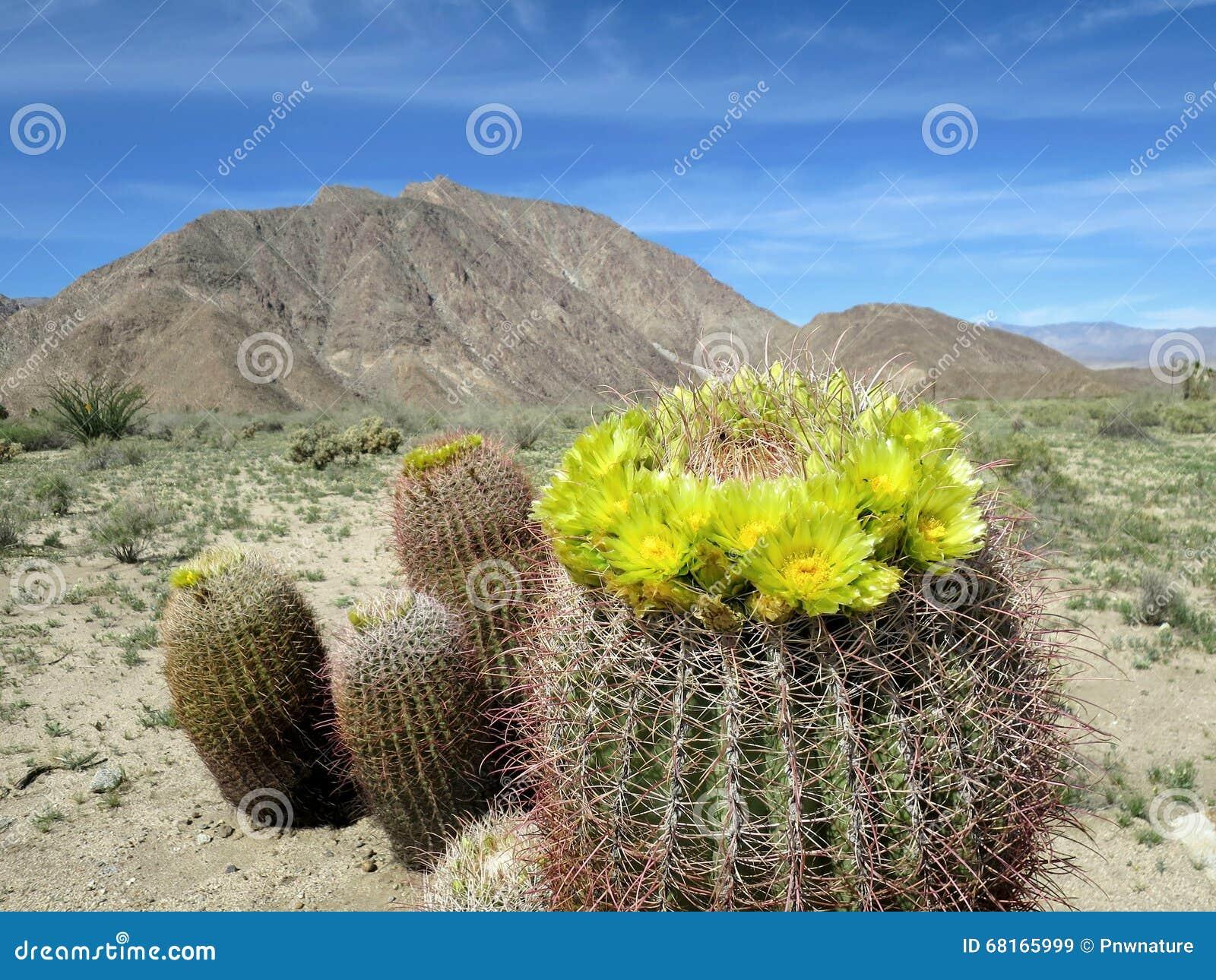 Cactus de barril en la floración