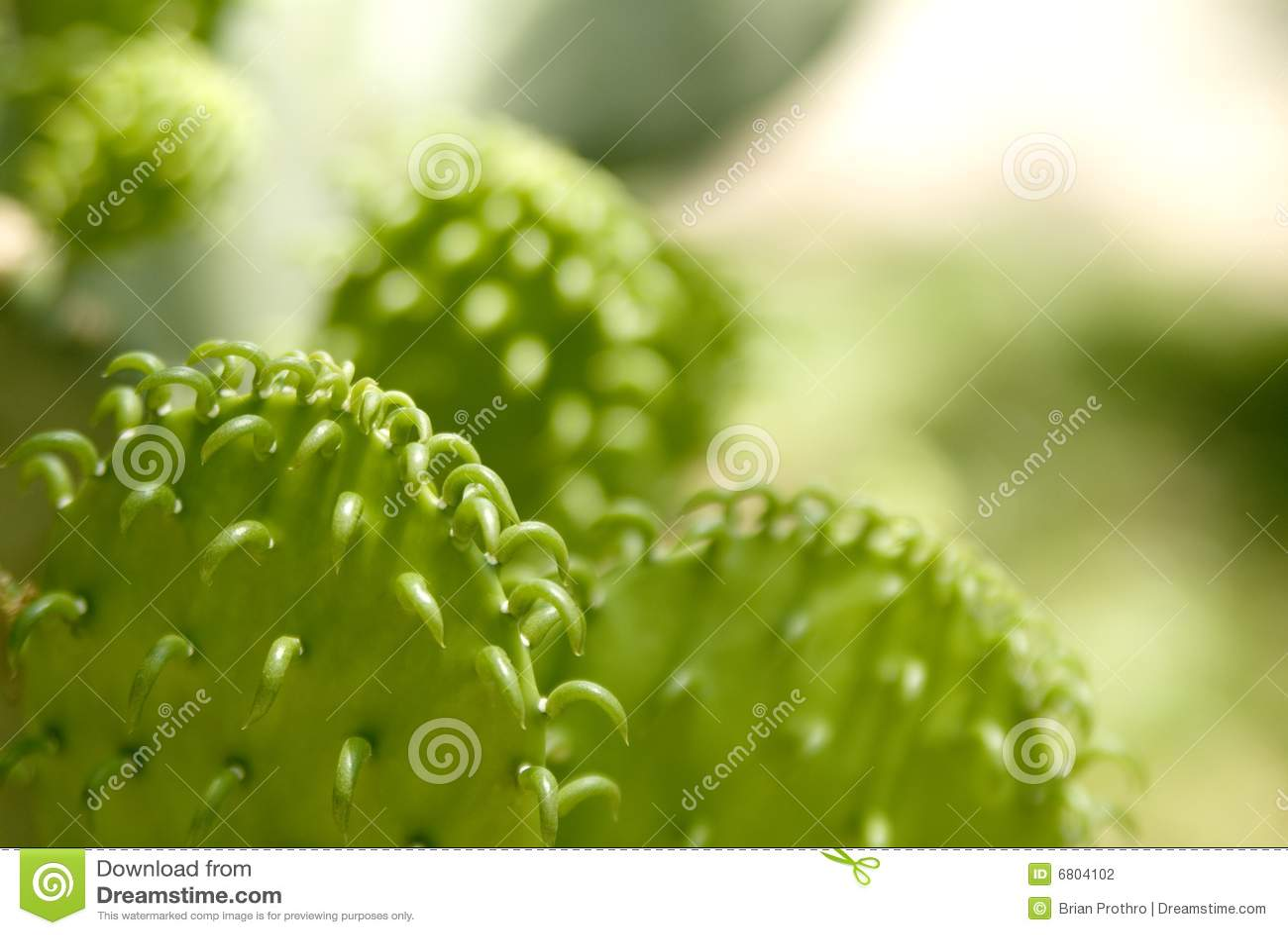 Cactus de chéri du Texas