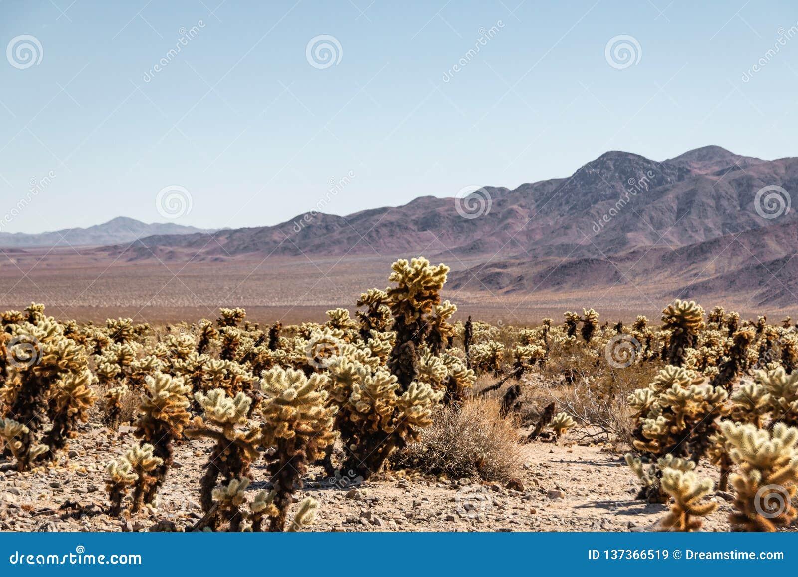 Cactus de Cholla en Joshua Tree Park