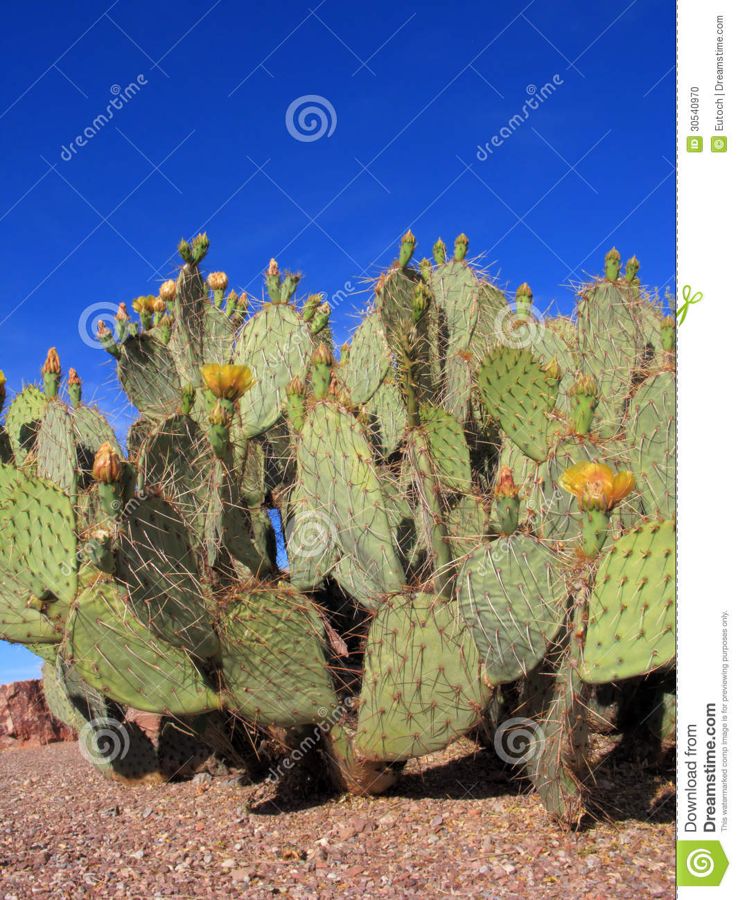 cactus de figuier de barbarie de l 39 arizona photo stock image du gravier anth re 30540970. Black Bedroom Furniture Sets. Home Design Ideas
