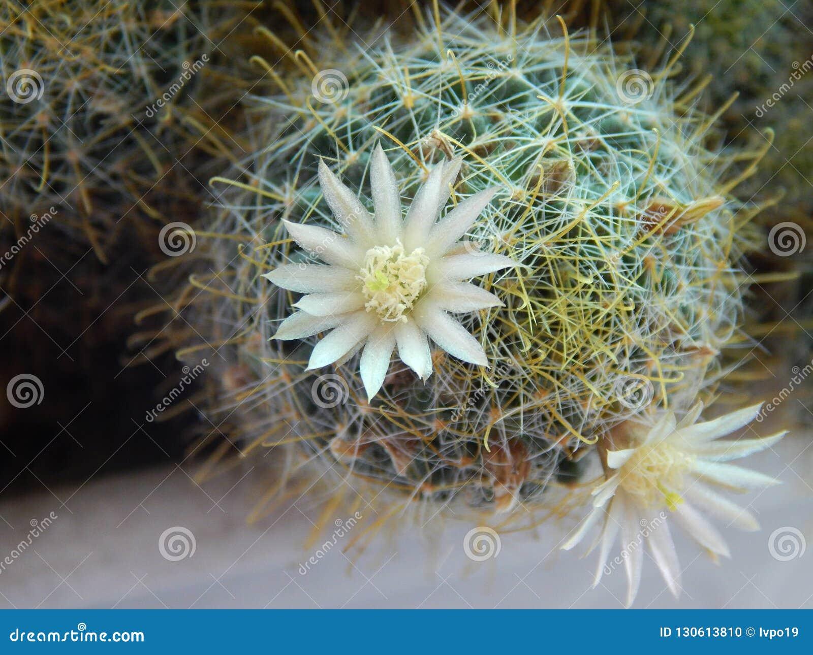 Cactus de floraison sur la fenêtre