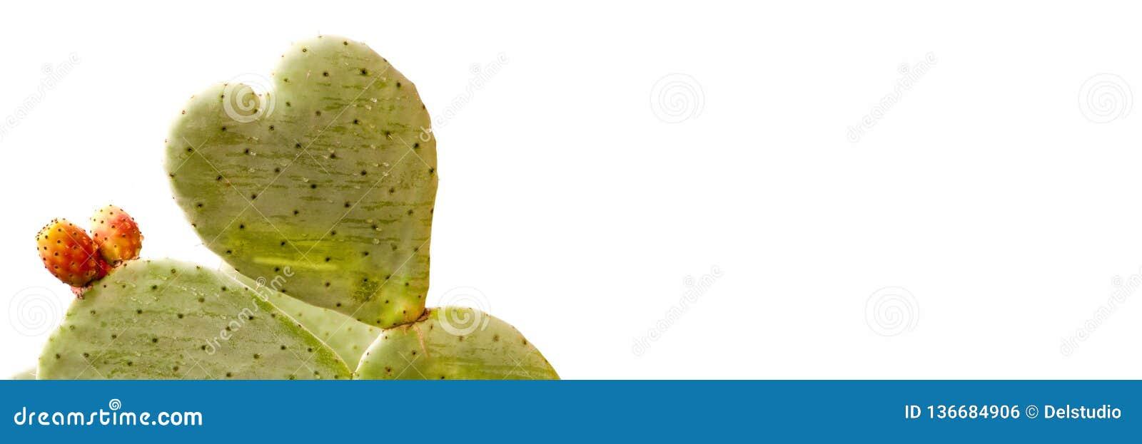 Cactus de forme de coeur d isolement sur le fond panoramique blanc