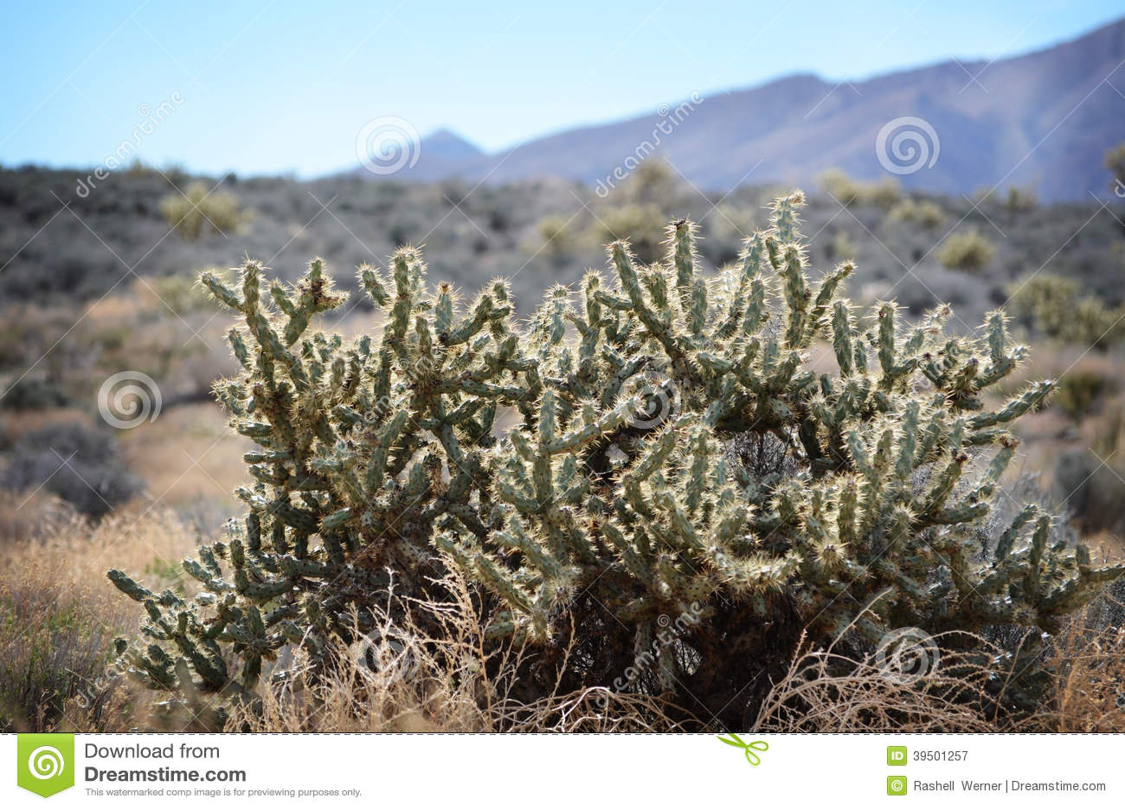 Cactus de la montaña