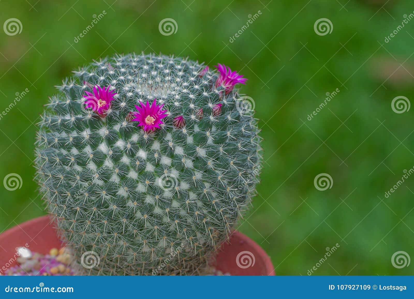 Cactus De Mammilla Avec La Fleur Rose Fraiche Image Stock Image Du