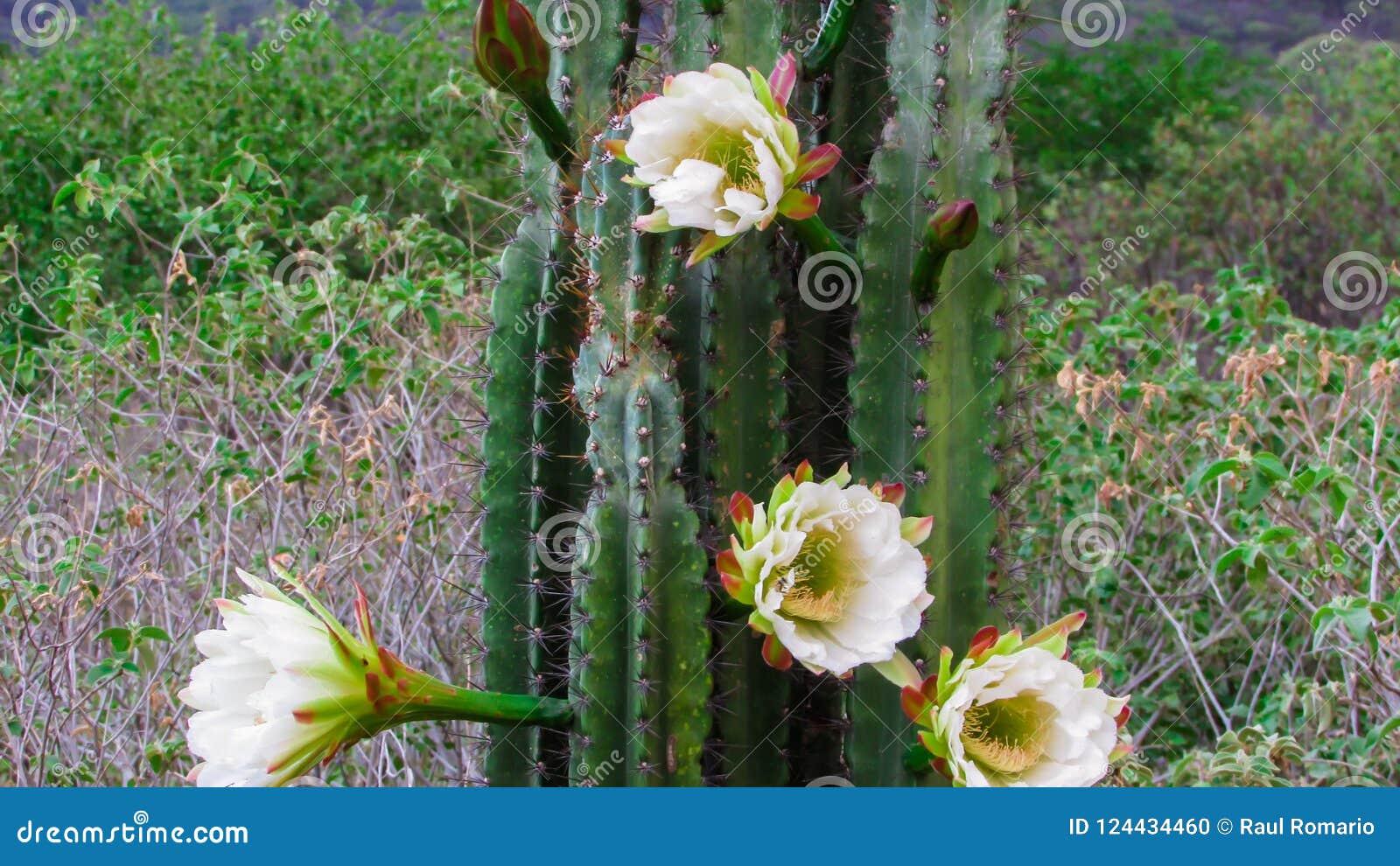 Cactus De Mandacaru Avec Sa Belle Fleur Blanche Qui S Ouvre