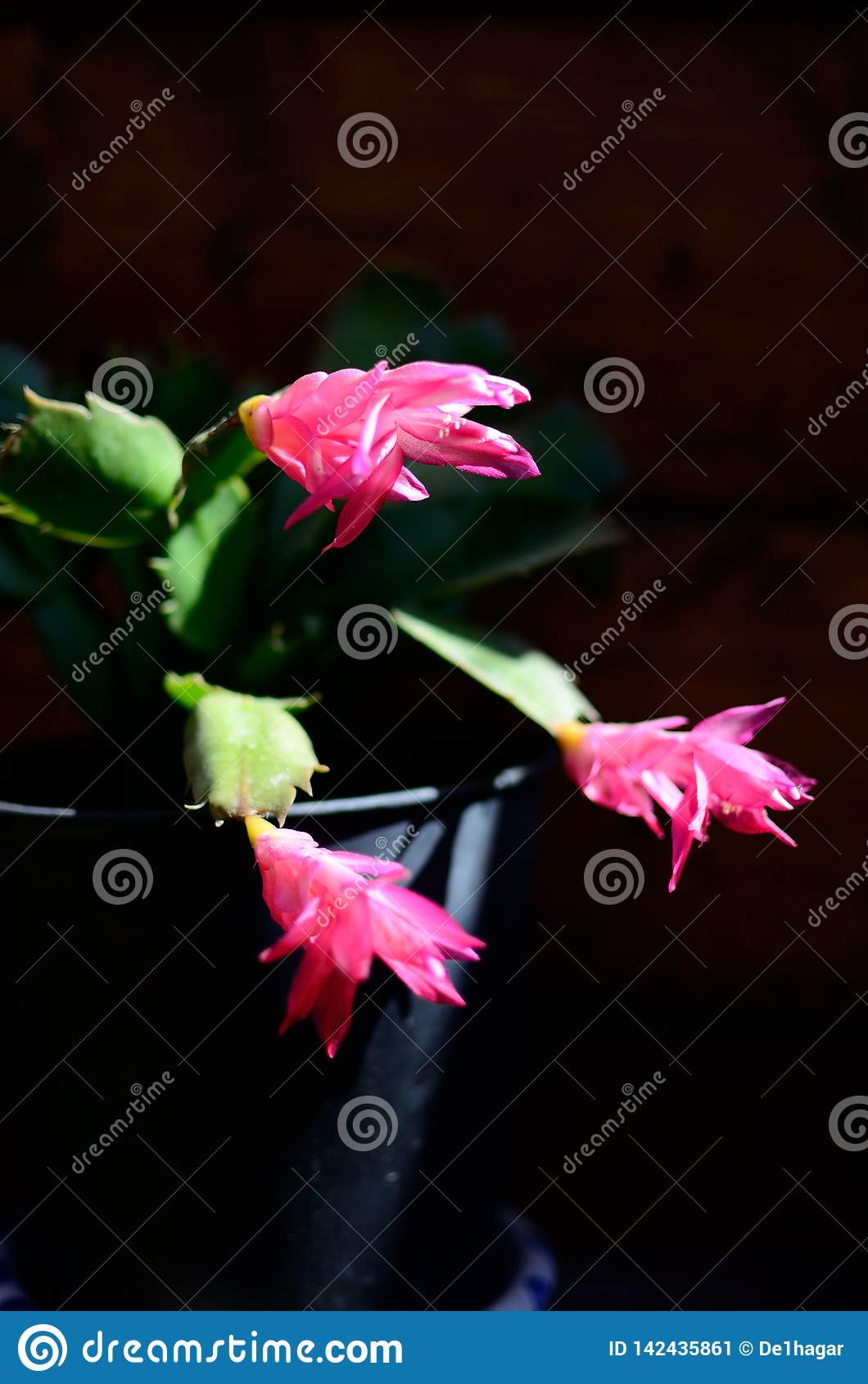 Cactus de Navidad Spring in spain