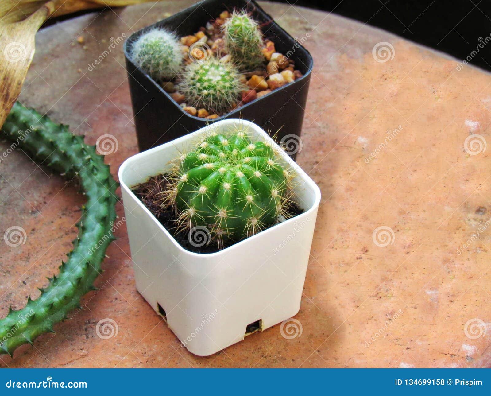 Cactus del bambino nei vasi bianchi e neri disposti su terraglie