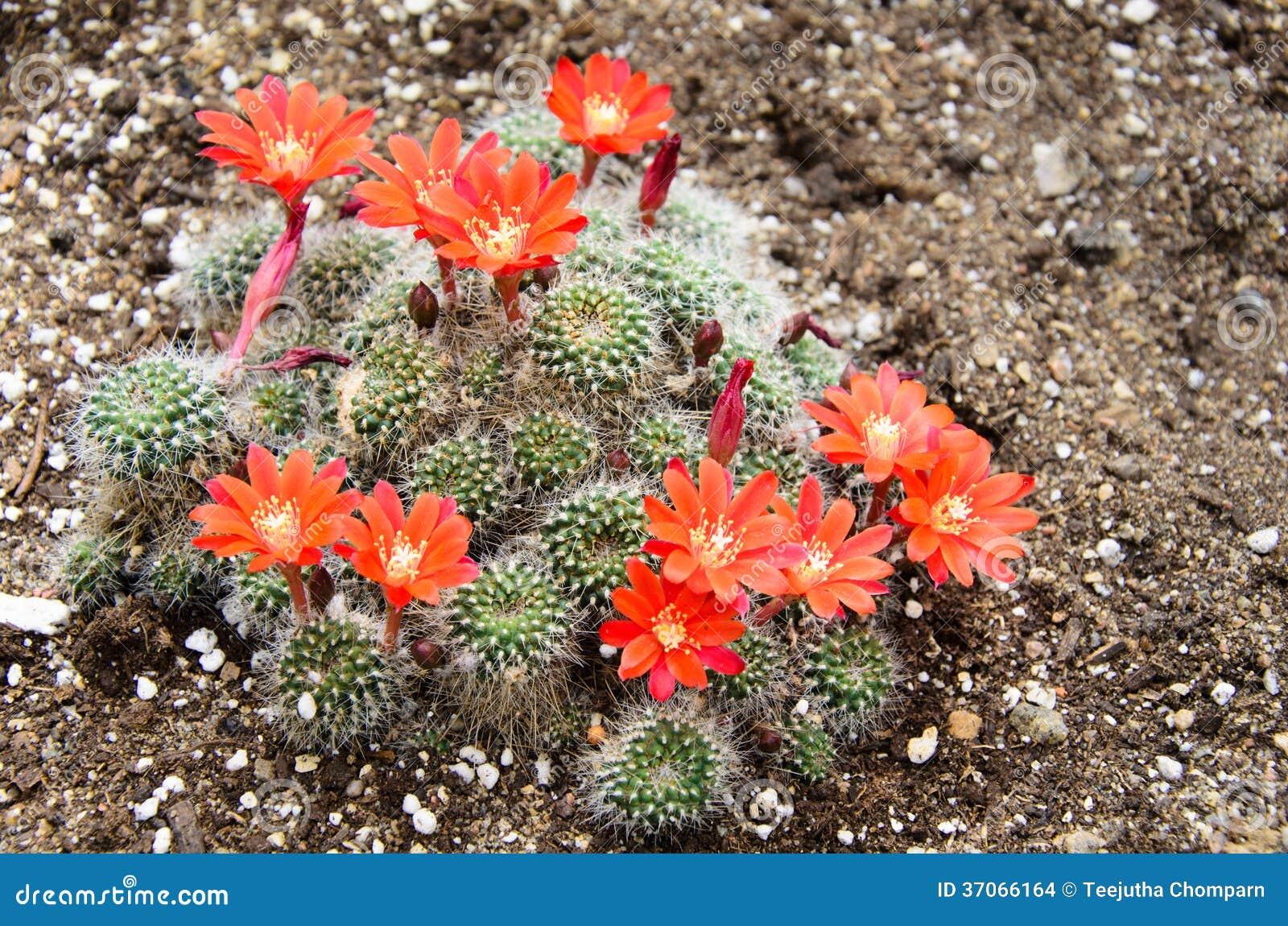 Cactus del primer con las flores anaranjadas imagenes de for Fotos de cactus