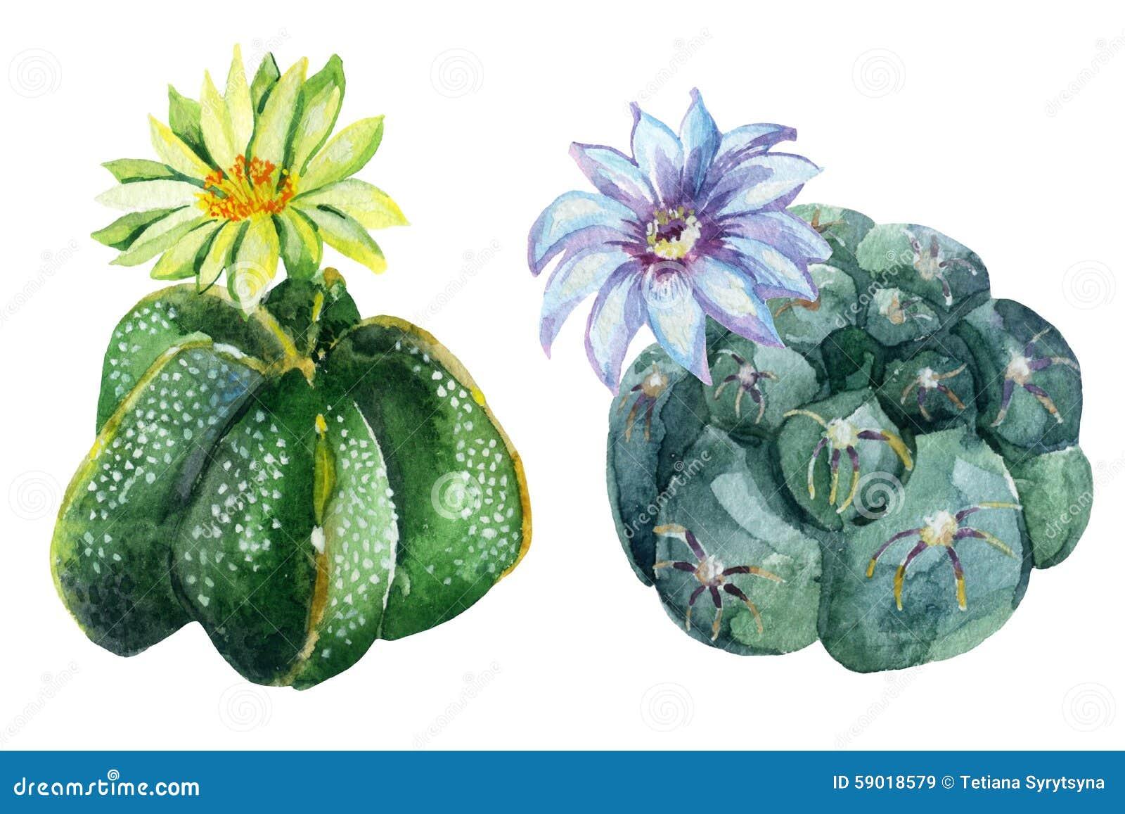 Cactus dell acquerello