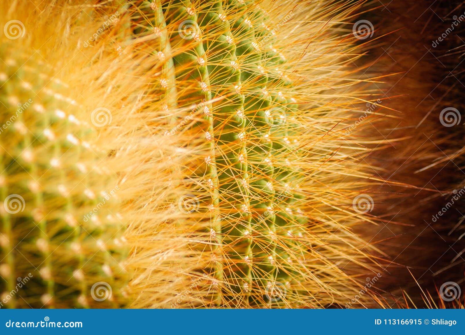 Cactus della palla del limone con le spine gialle brillanti Notocactus Fine in su