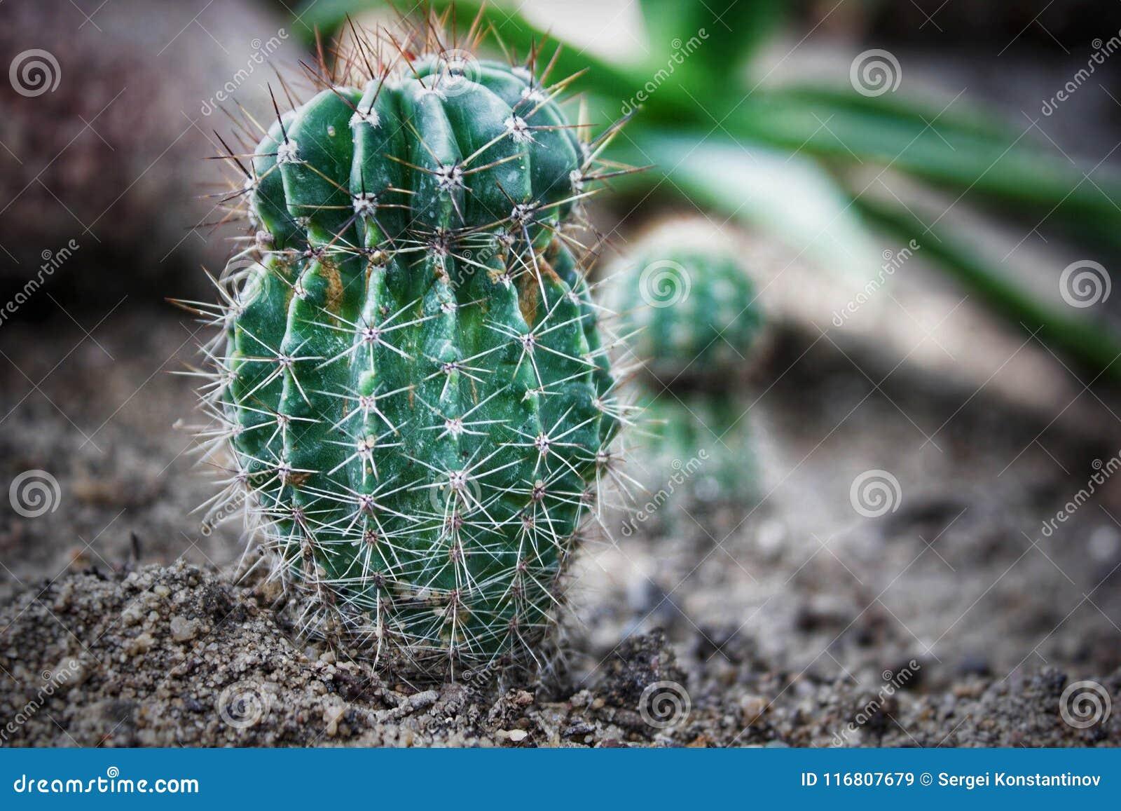Cactus di Brasilia