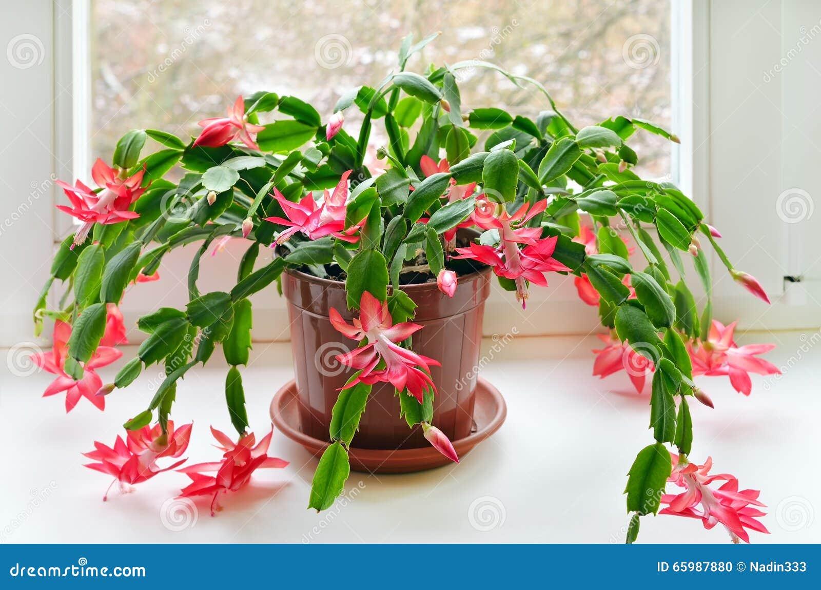 Cactus Di Natale.Cactus Di Natale Schlumbergera Fotografia Stock Immagine