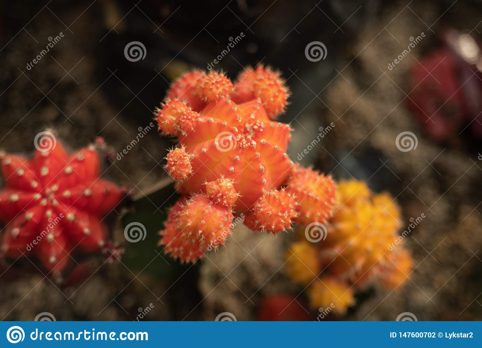 Cactus differenti di colore