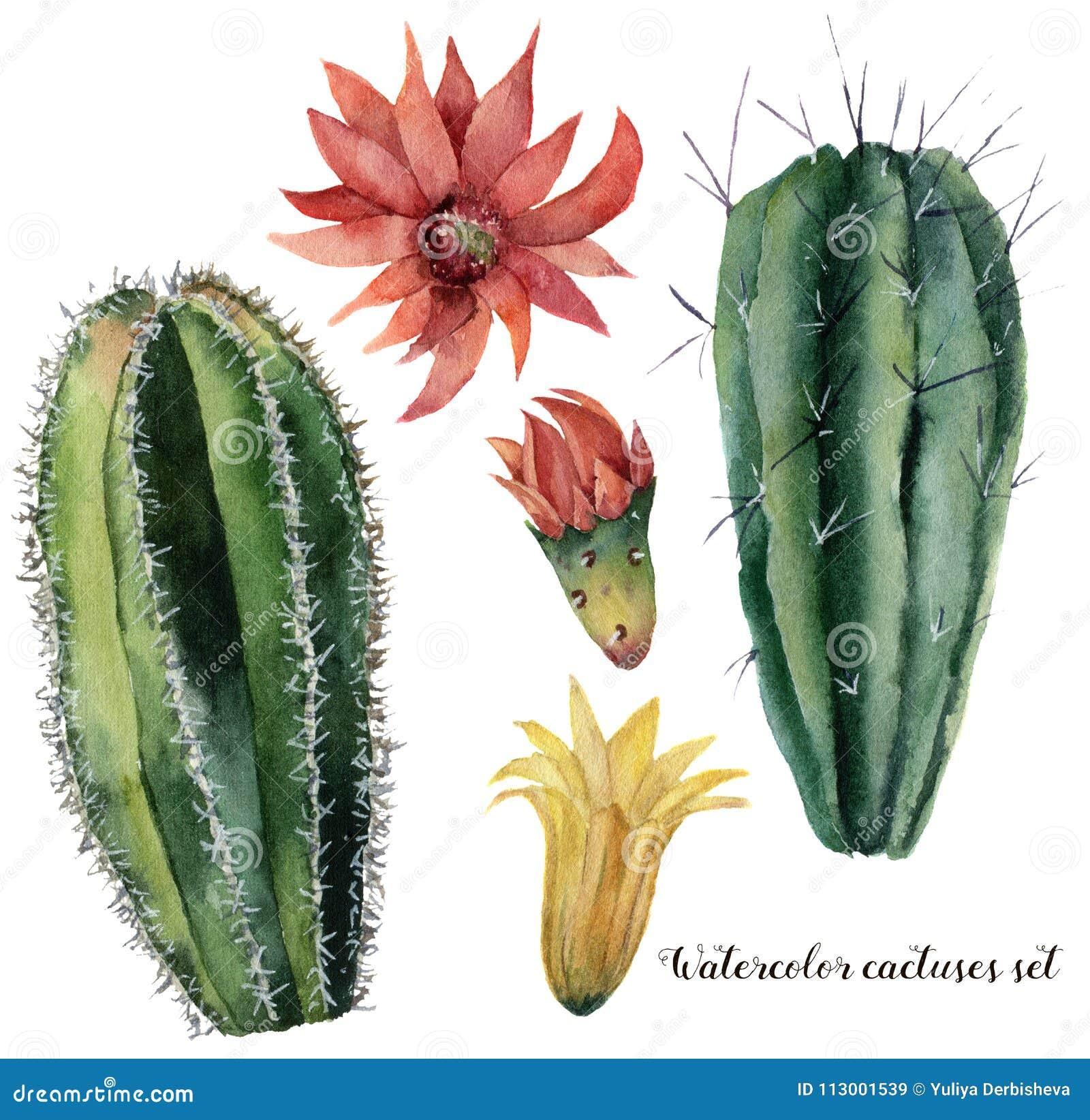 Cactus e fiori dell acquerello messi Saguaro dipinto a mano con il fiore rosso e giallo isolato su fondo bianco