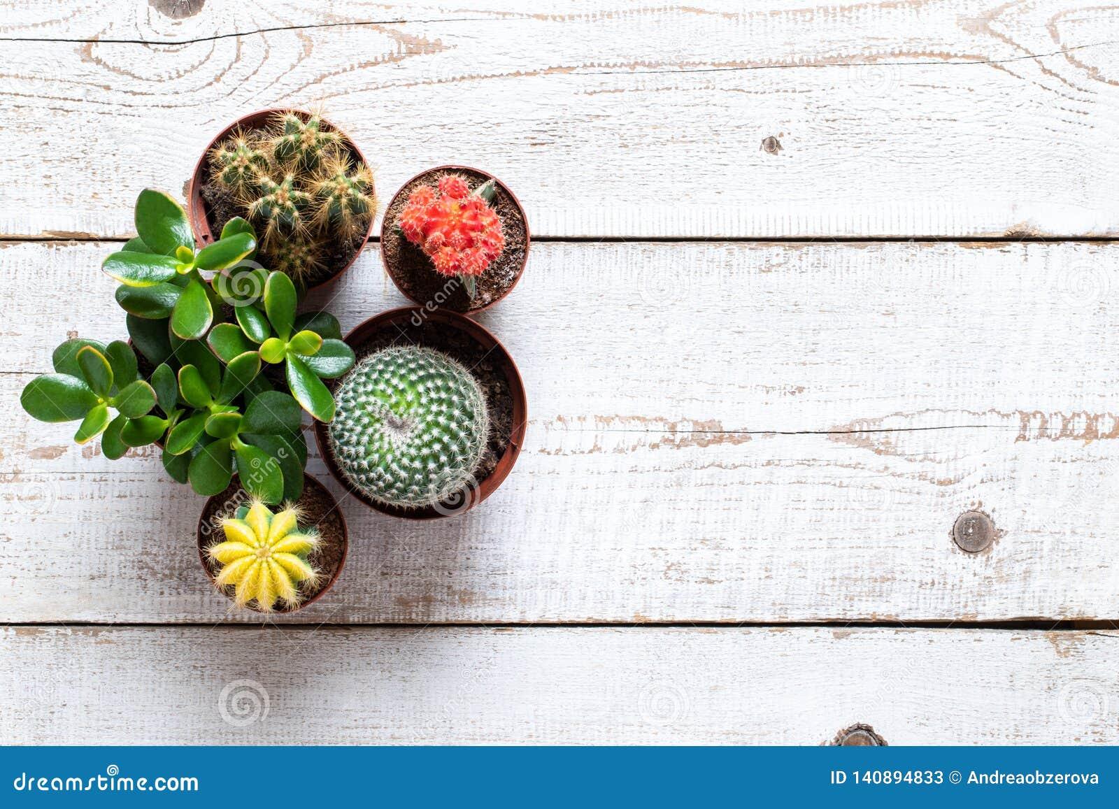 Cactus e fondo delle piante della casa dei succulenti Raccolta di varie piante della casa su fondo di legno bianco
