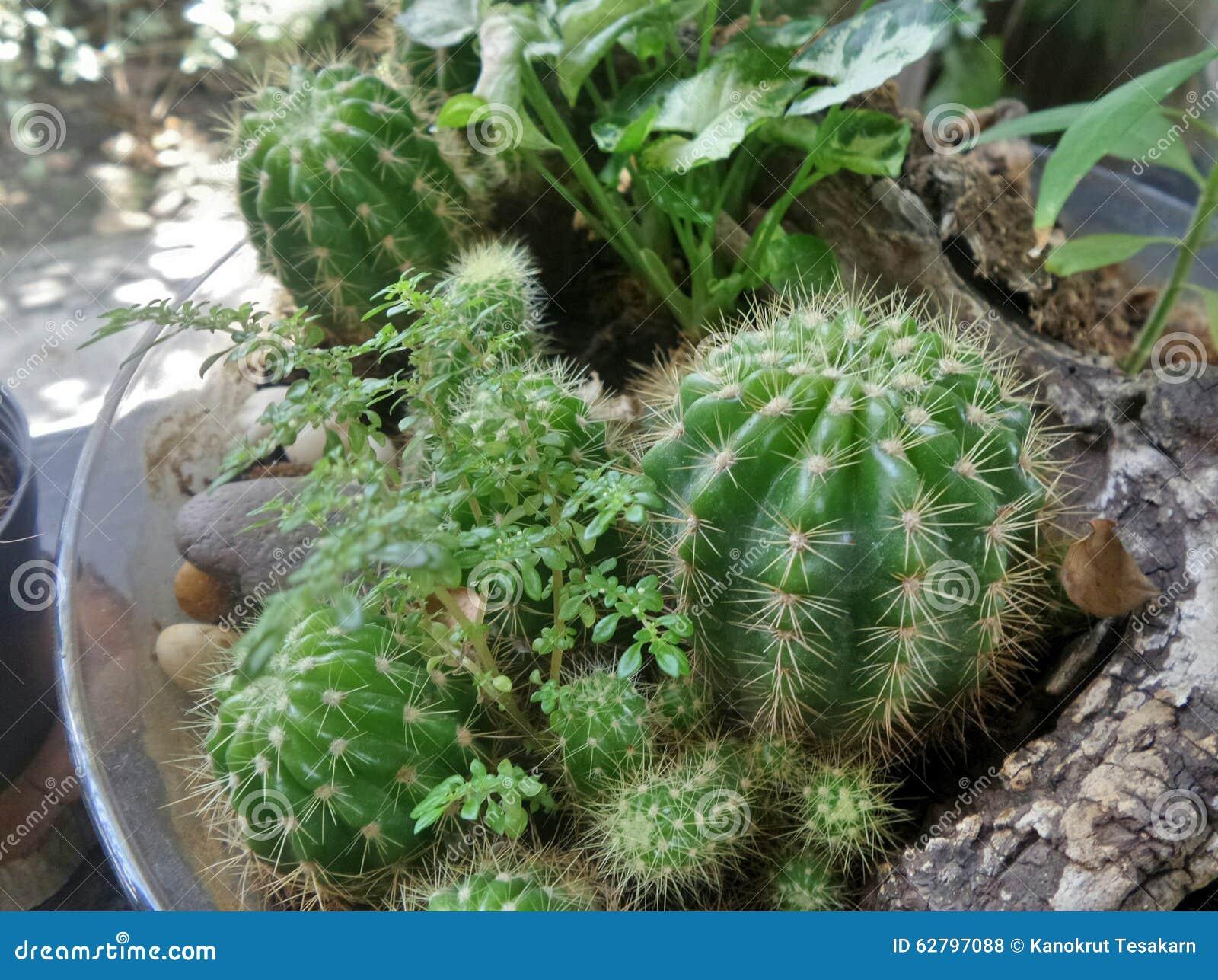 Cactus en bol de vidrio foto de archivo imagen 62797088 - Bol de vidrio ...