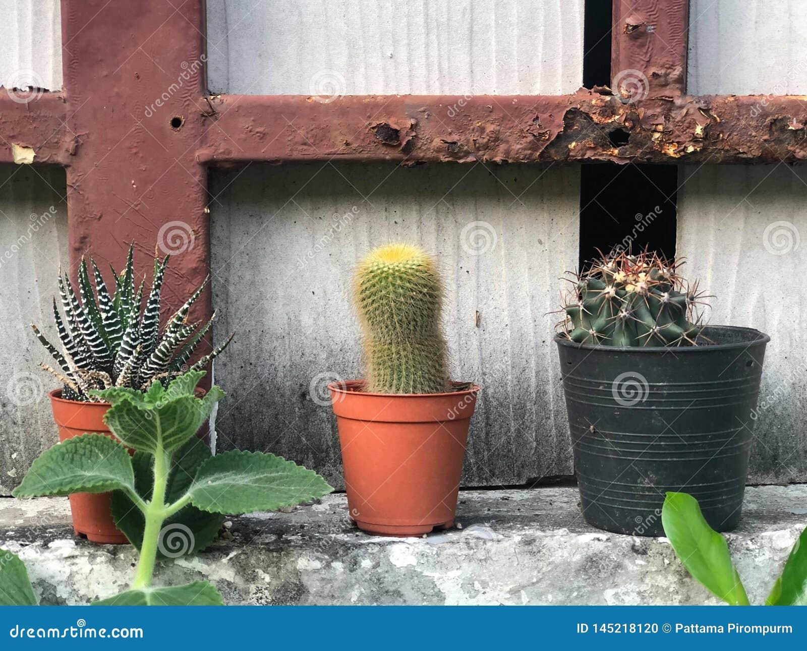Cactus en crisoles