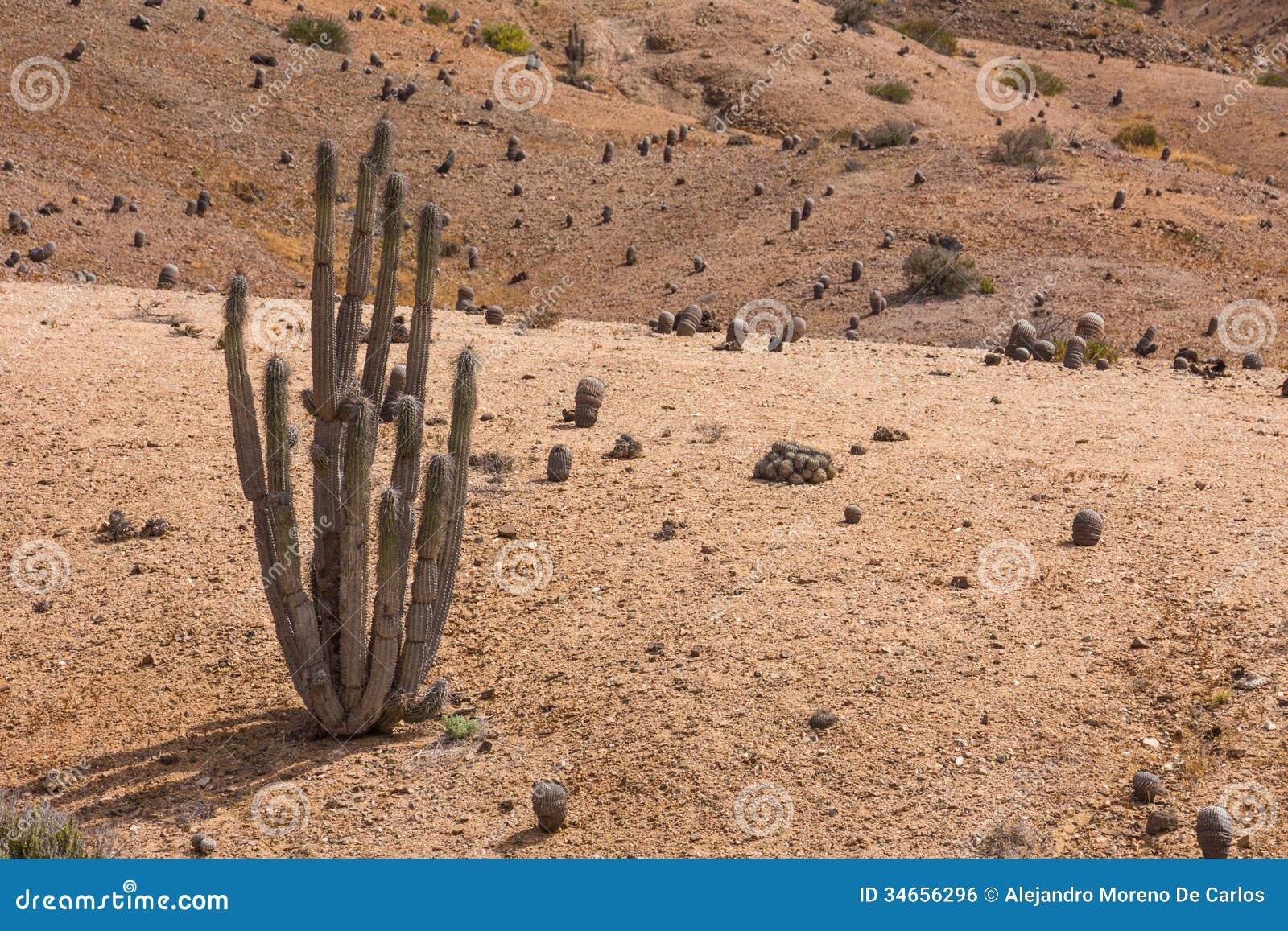 Cactus en el desierto en atacama chile foto de archivo for Fotos de cactus