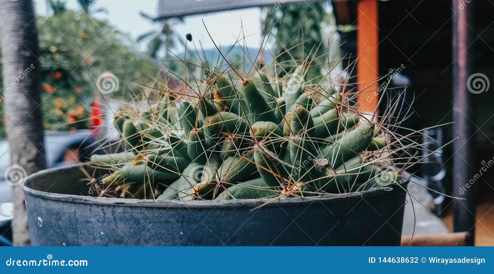 Cactus en el pote, conveniente para el fondo y el fondo promocional de los medios