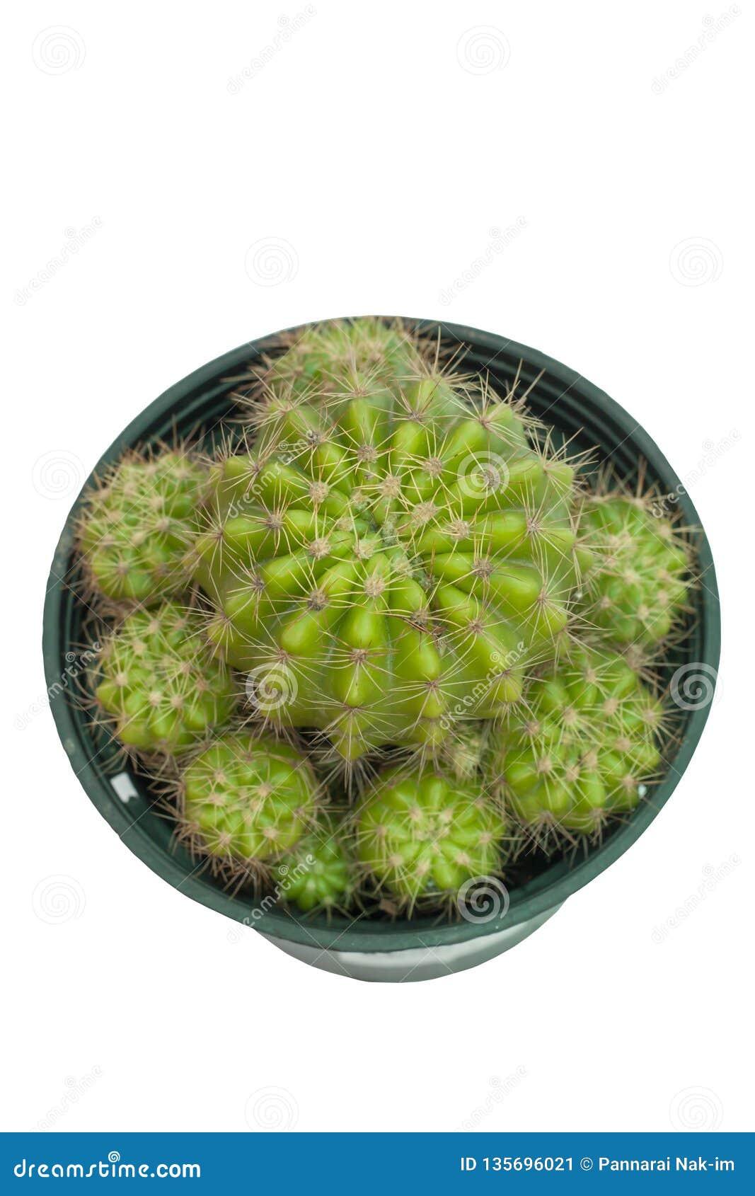 Cactus en el pote plástico negro aislado en el fondo blanco con la trayectoria de recortes