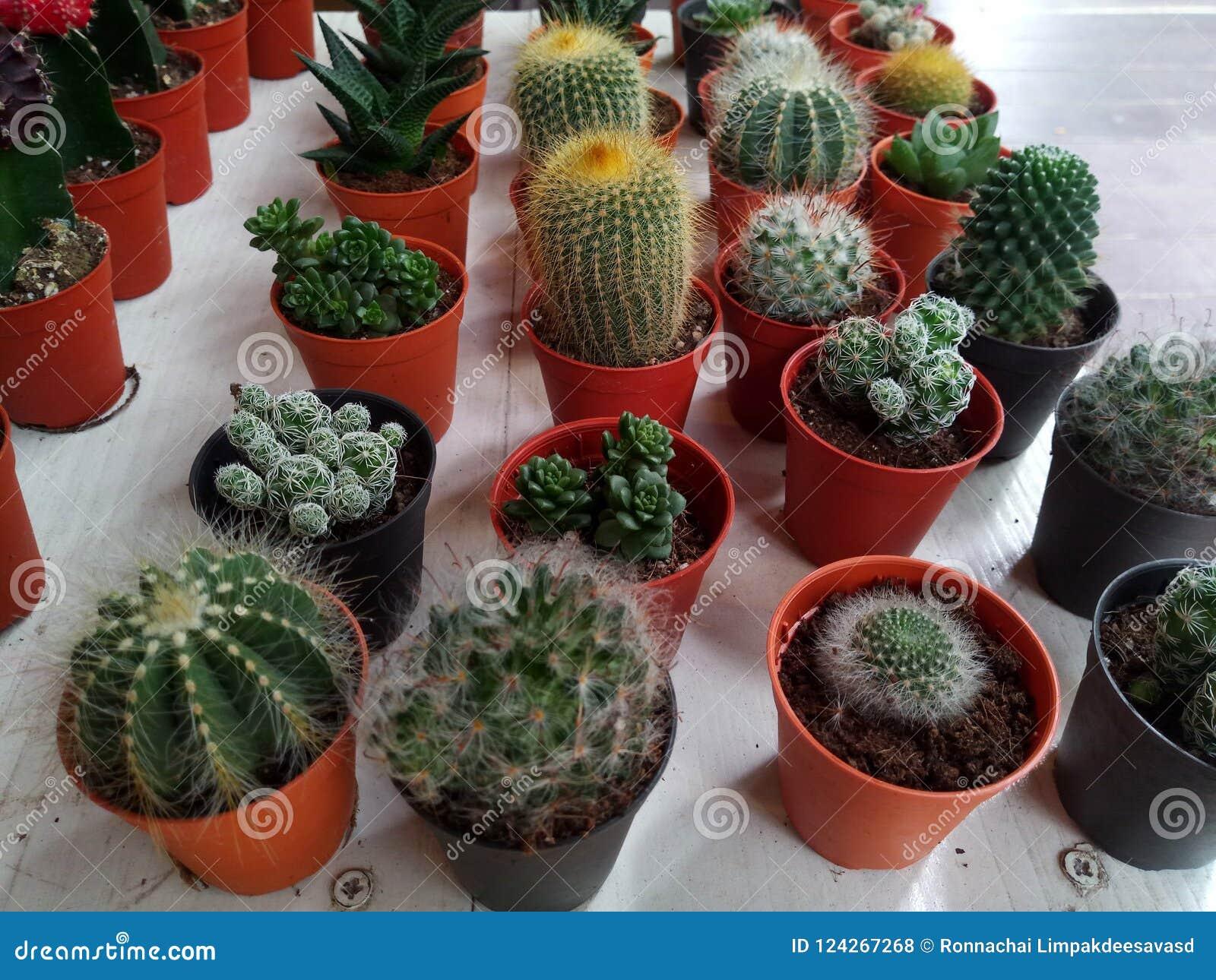 b5c6c25f9 Planta suculenta del cactus del áloe en el fondo blanco Macro del succulent  en pote Ciérrese para arriba del pequeño succulent spotеed del cactus para  la ...