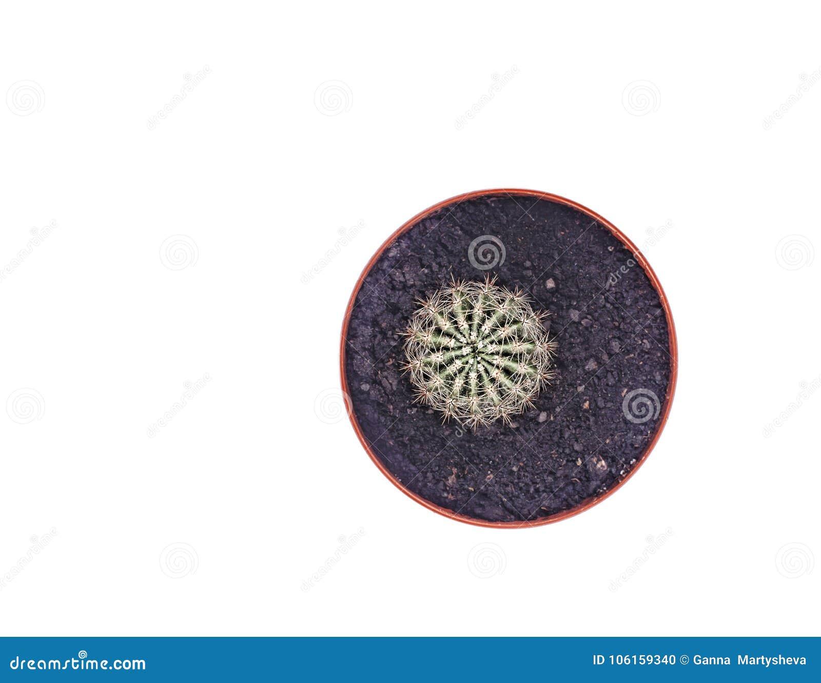 Cactus en una maceta aislada en una opinión superior del fondo blanco Primer
