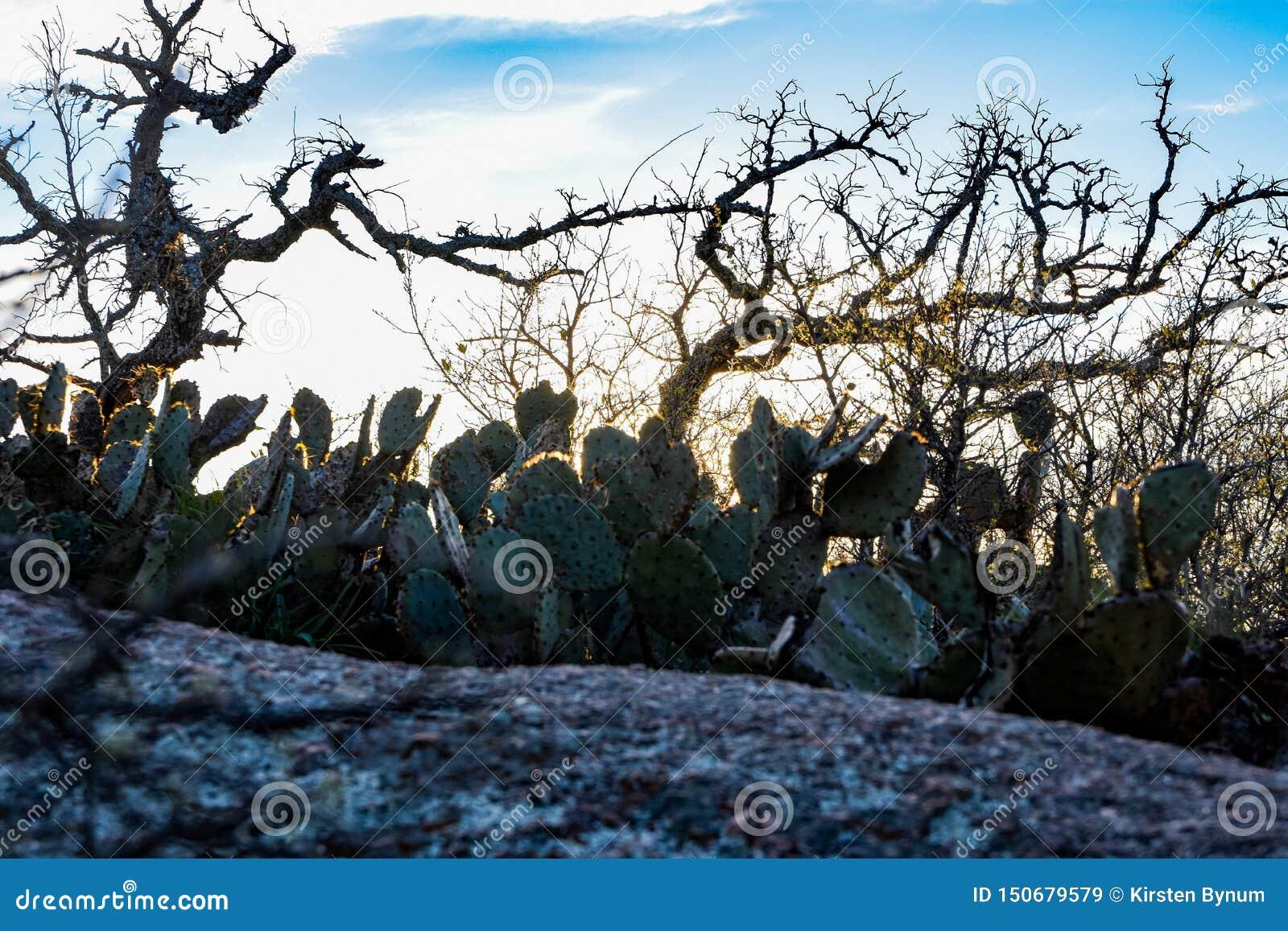 Cactus enchanté de roche
