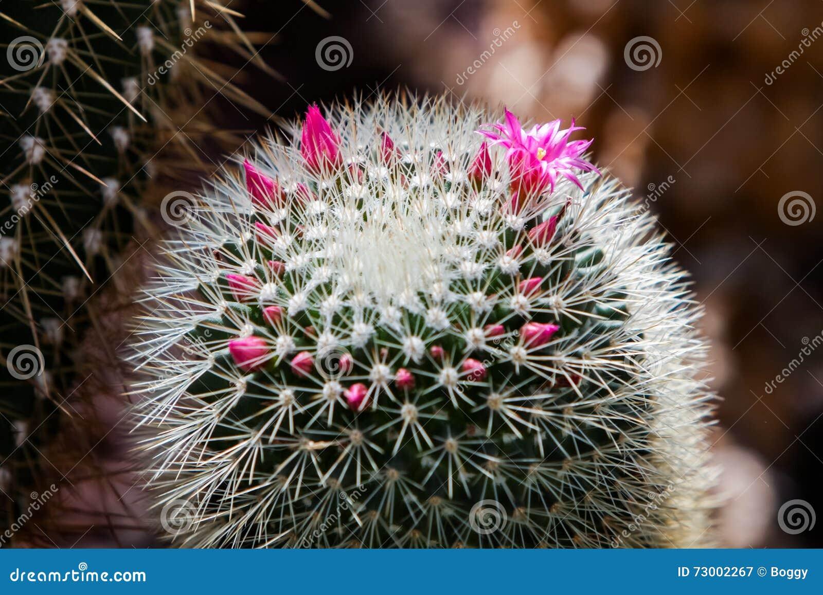 Cactus espinoso del acerico