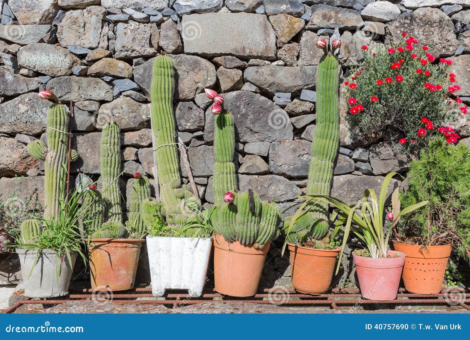 Cactus florecientes en macetas antes de una pared foto de for Cactus de exterior