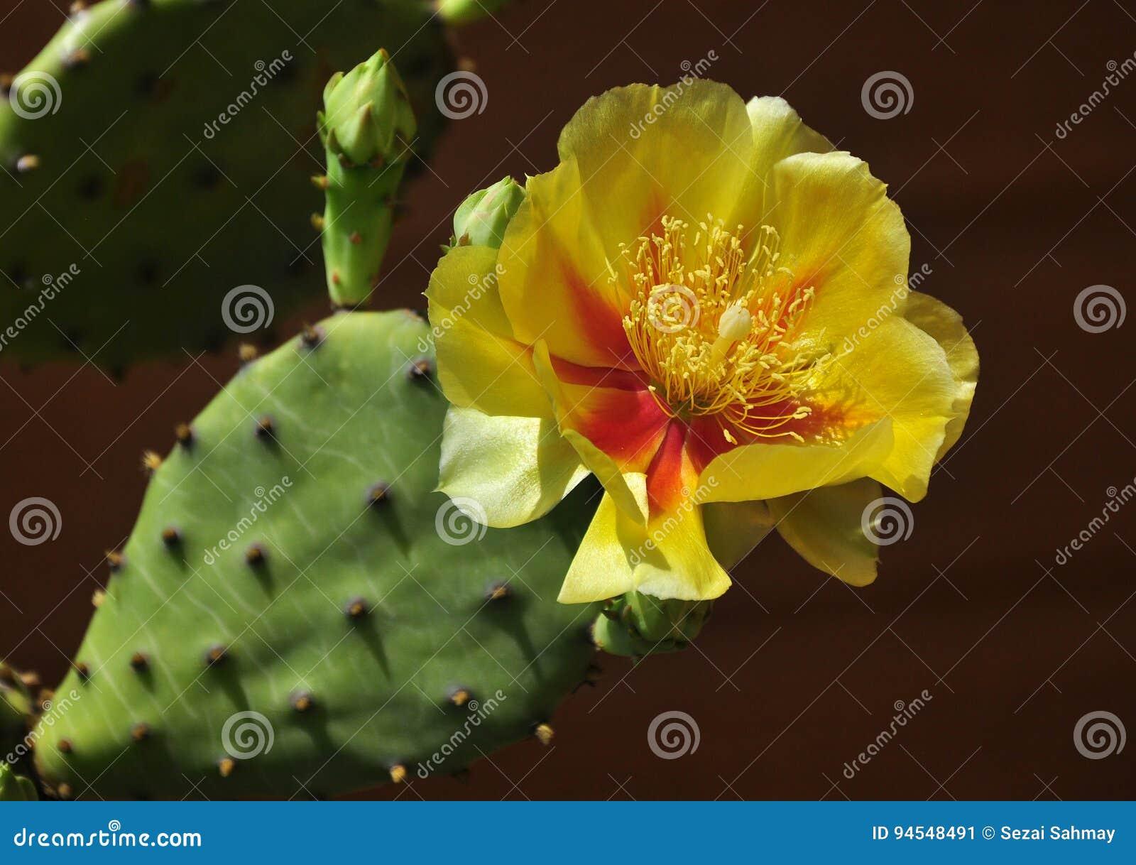 Cactus flower stock image. Image of botanical, blossom - 94548491