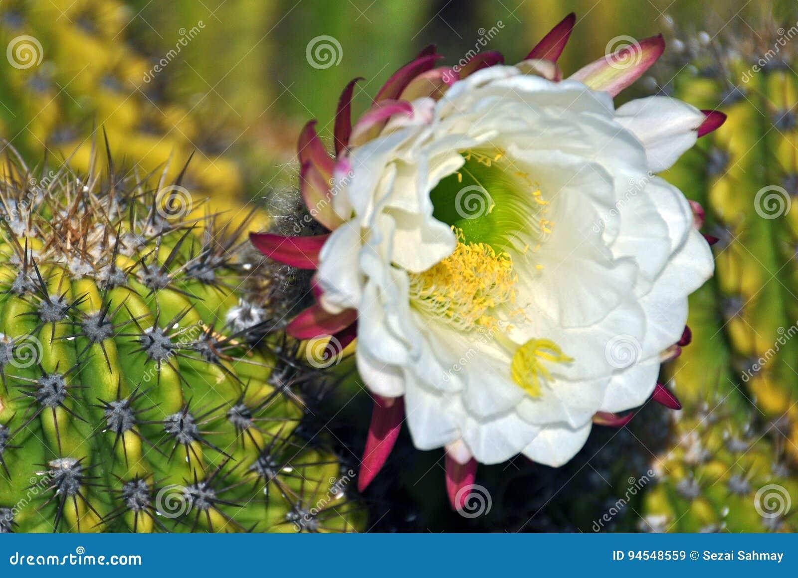 Cactus flower stock image. Image of pereskia, merely - 94548559