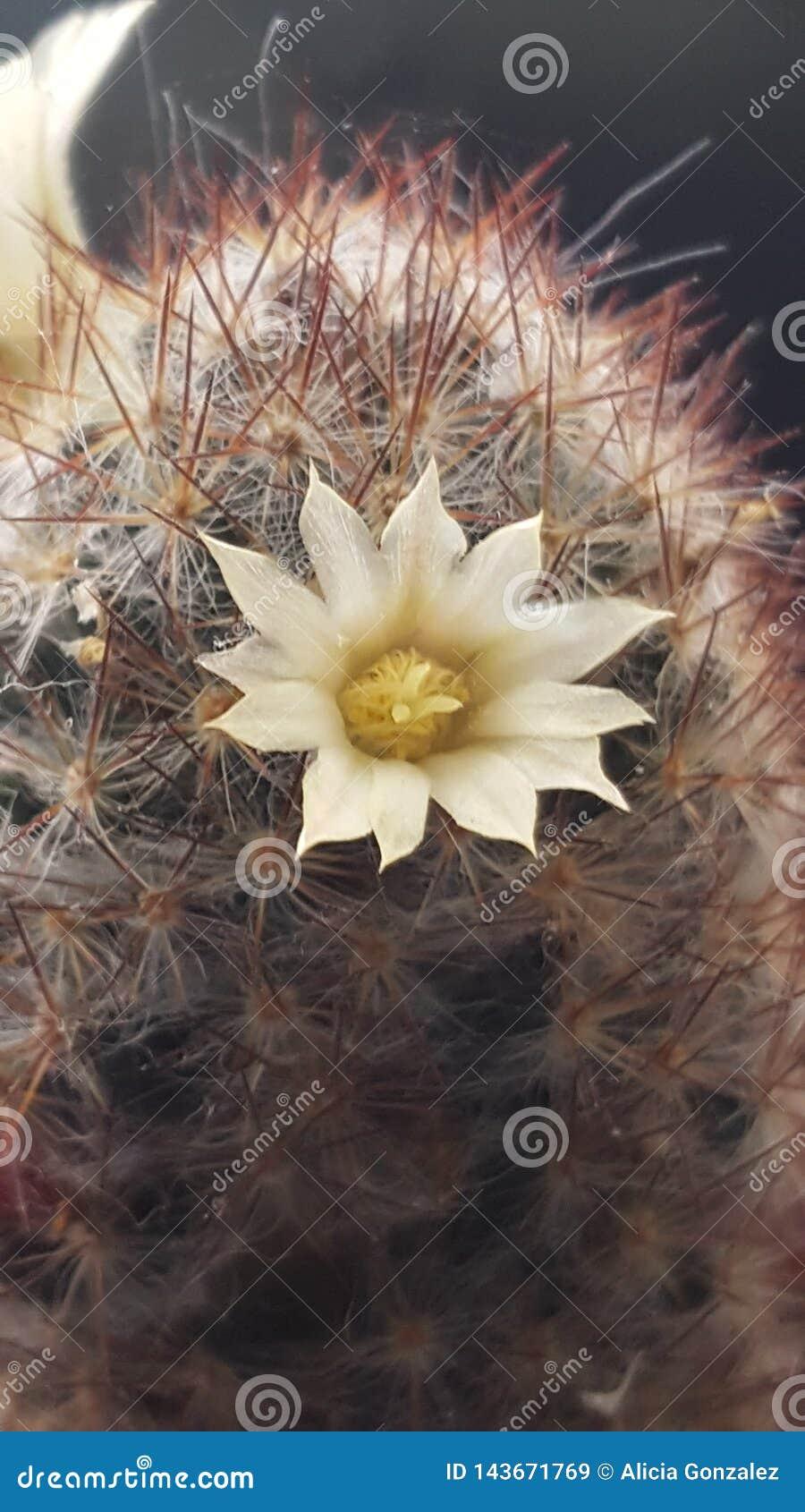 Cactus flower macro