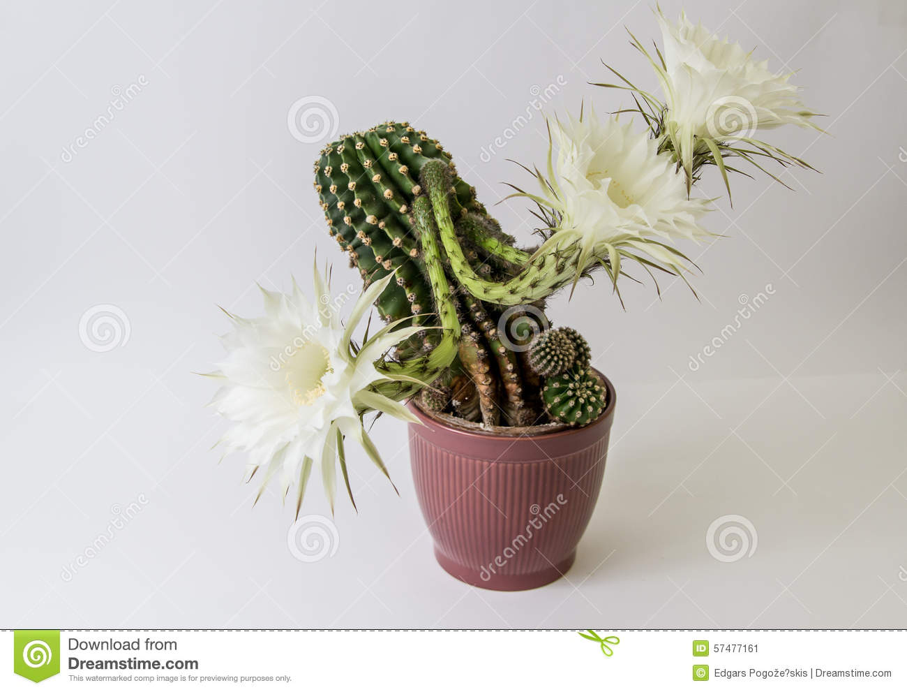 Cactus Flower On White Stock Image Image Of Flower 57477161