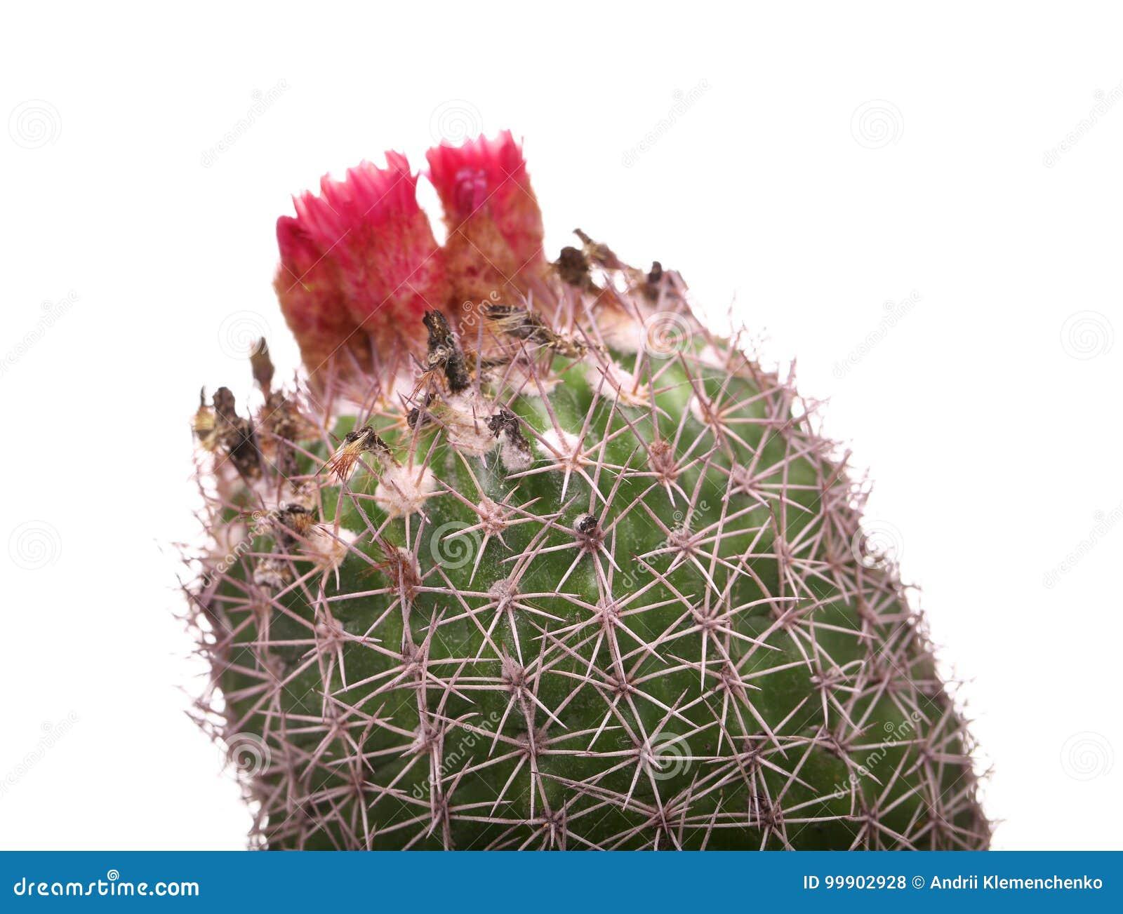 Cactus flowers isolated on white background pink cactus blossom cactus flowers isolated on white background pink cactus blossom minimal creative stillife mightylinksfo