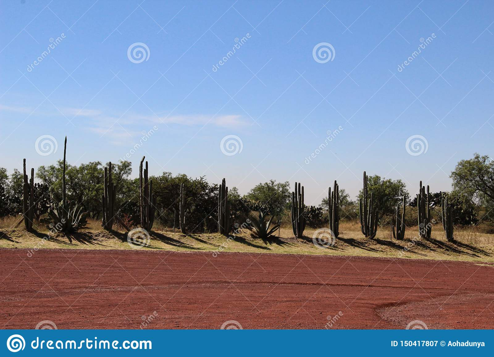 Cactus flowers line up in the desert