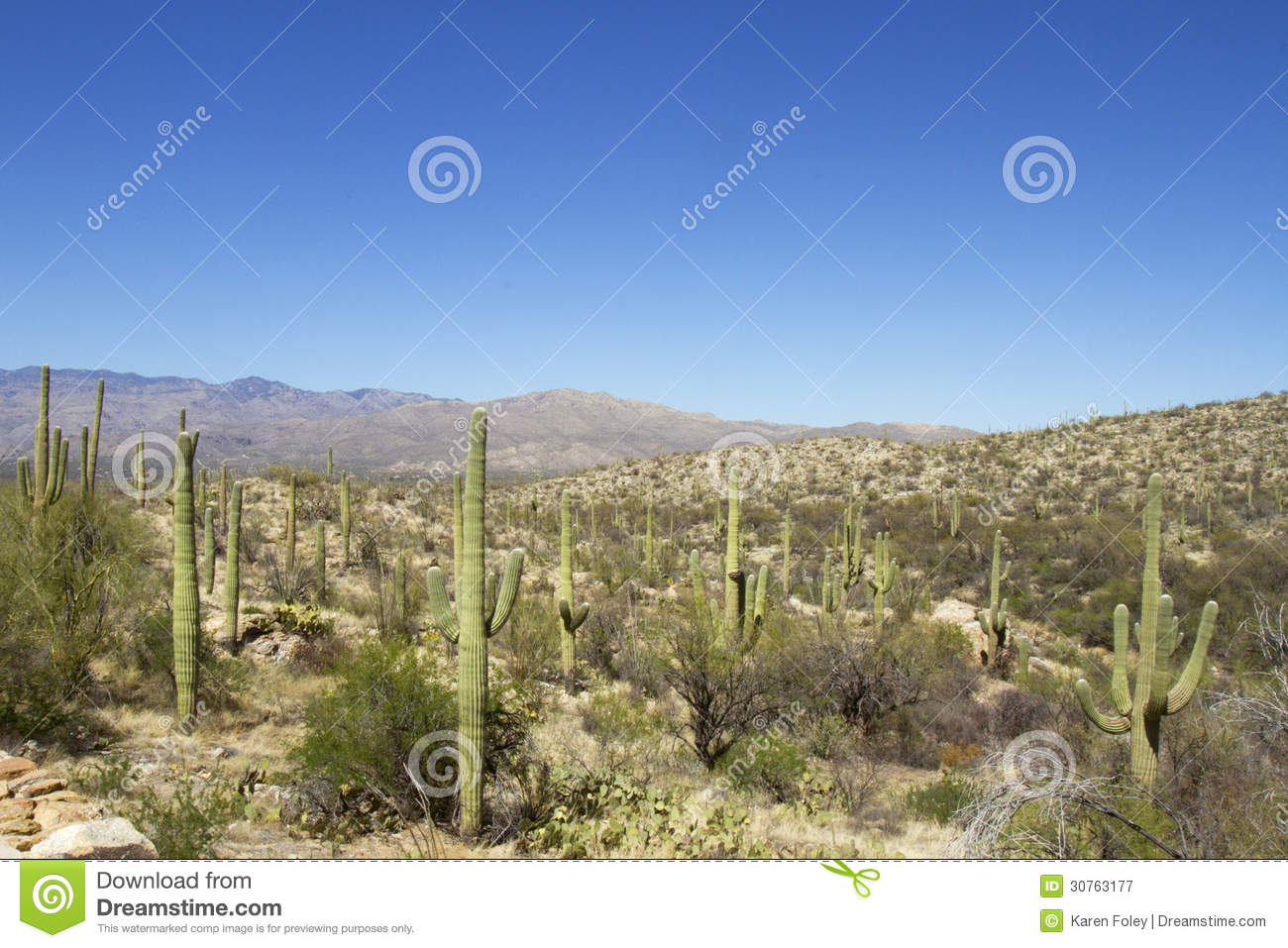 Cactus Forest In Saguaro National Park Royalty Free Stock