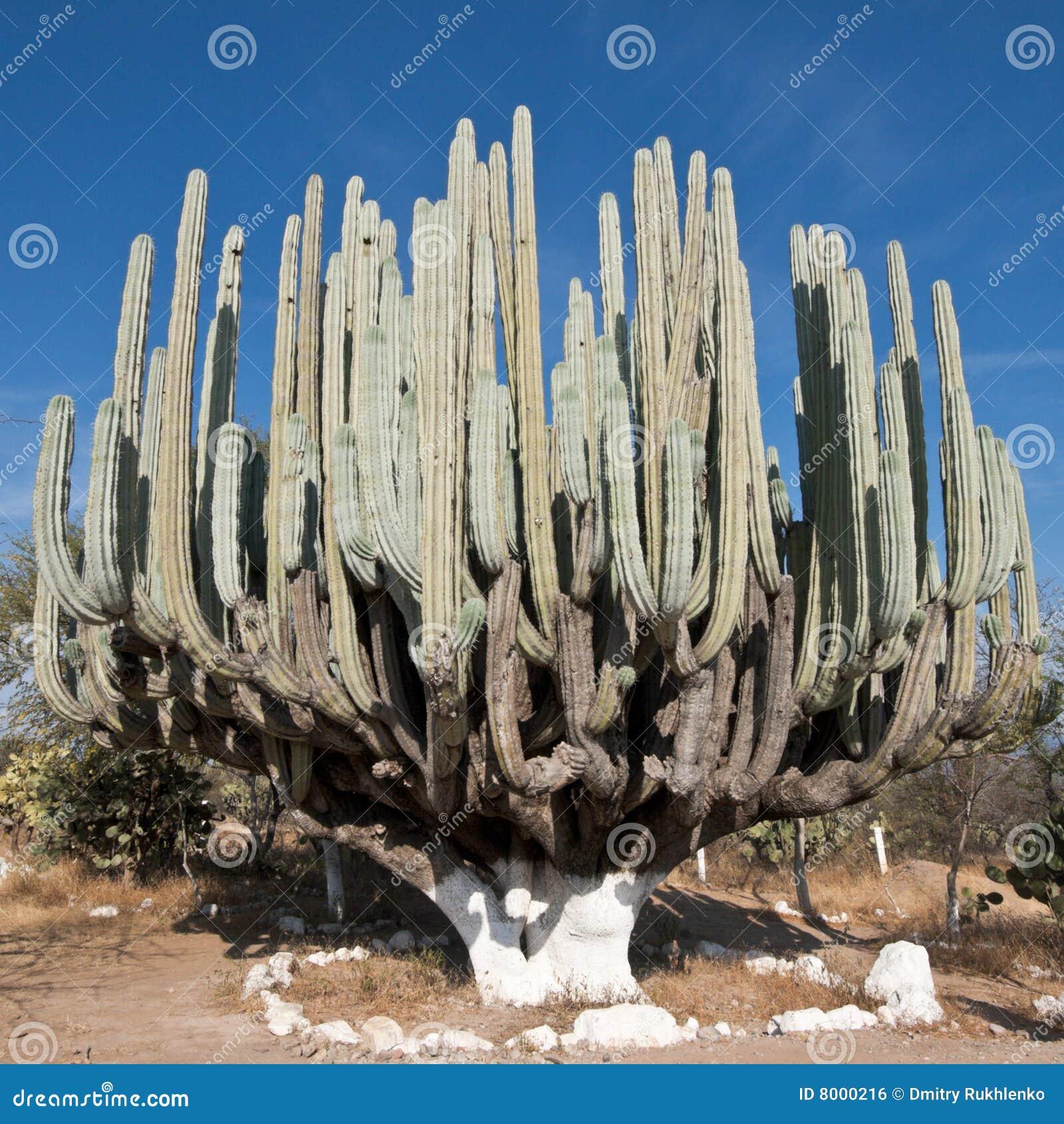 Cactus géant au Mexique