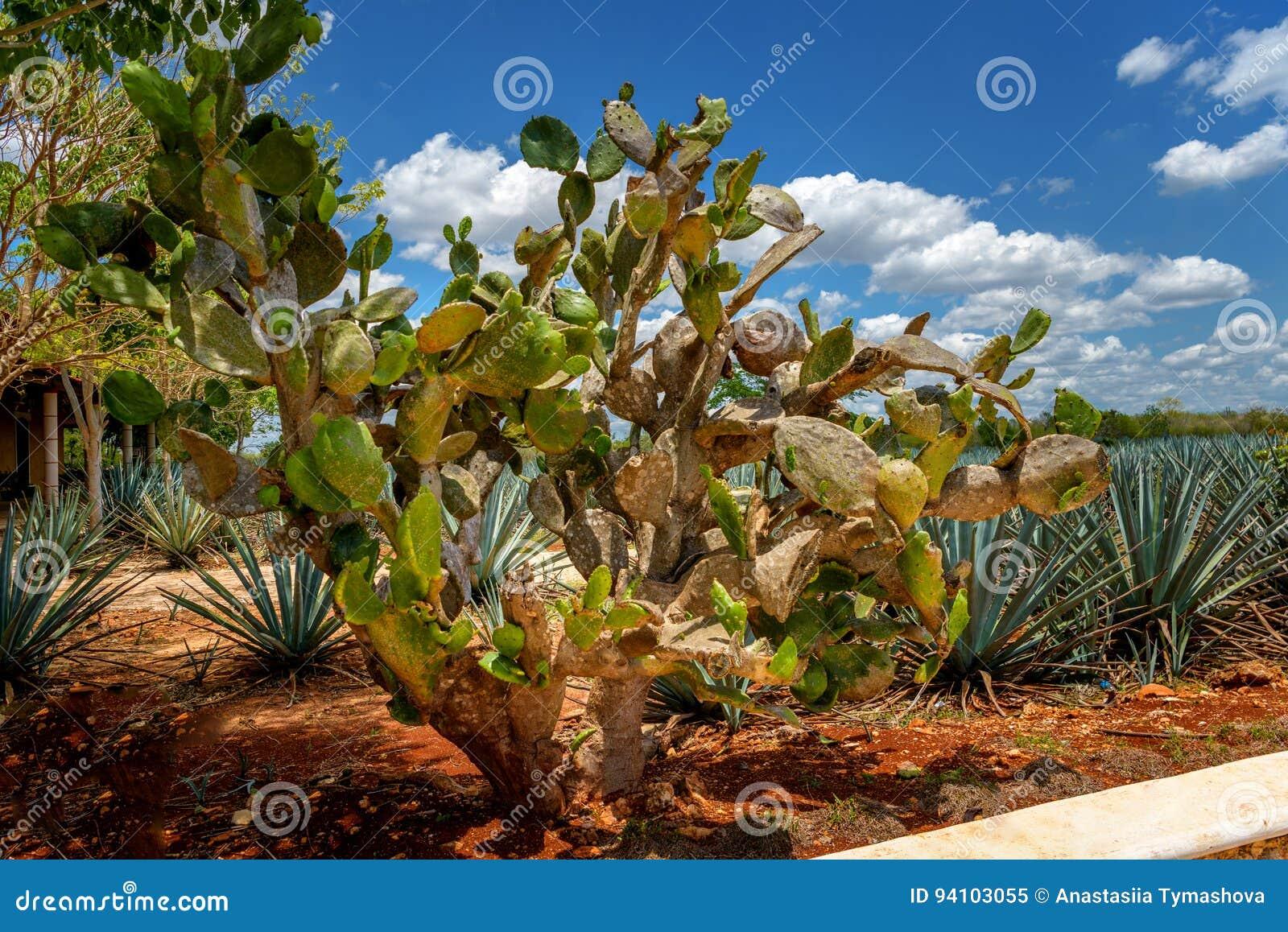 Cactus géant sur le fond