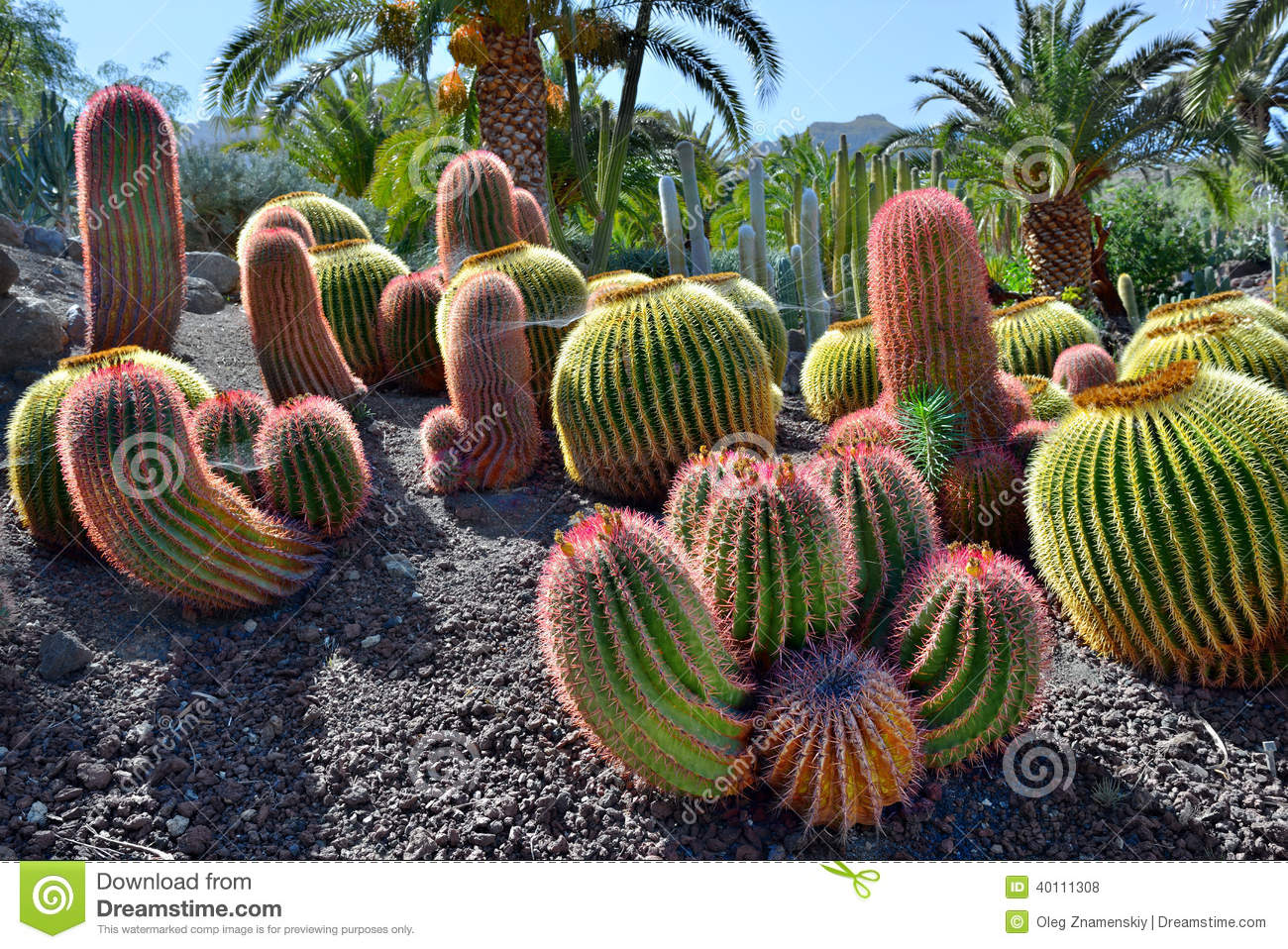 cactus garden stock photo  image, Beautiful flower