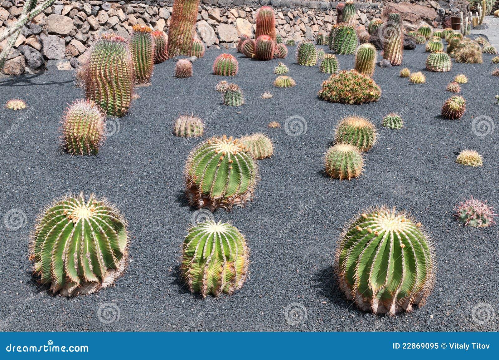 Cactus garden jardin de cactus lanzarote spain royalty for Jardines con cactus