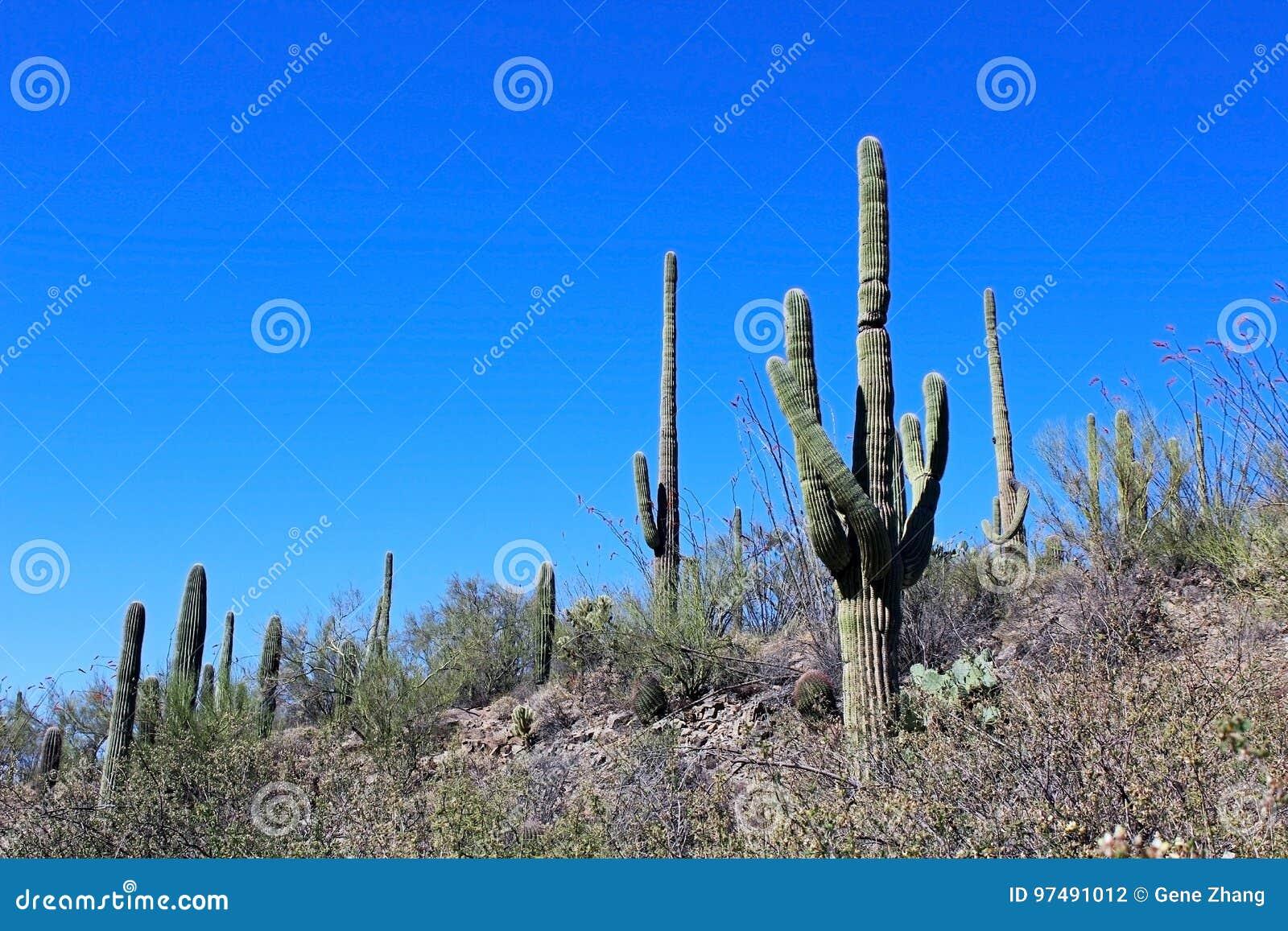 Cactus gigante del saguaro nel parco nazionale del saguaro