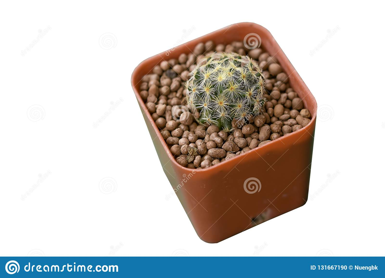 Cactus Grown as ornamental plants Beautiful oon a white background