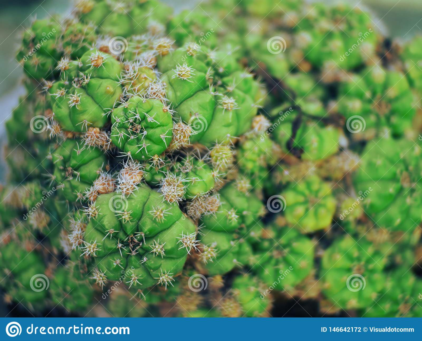 Cactus hermoso de Palu City de Indonesia