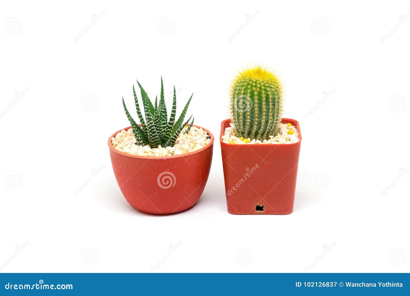 Cactus isolato su fondo bianco, leninghausii di Notocactus e