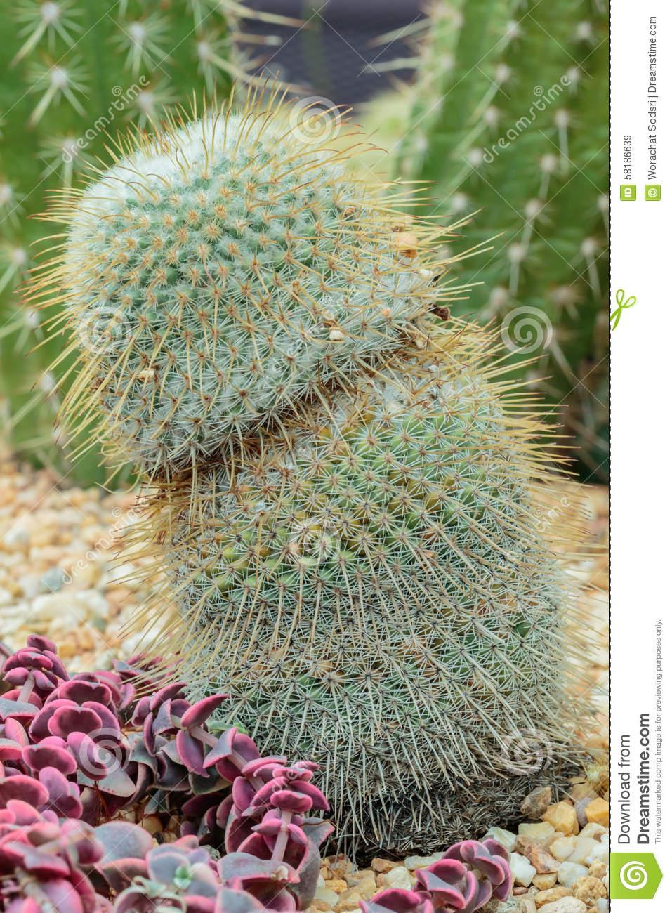 Download Cactus stock image. Image of green, growth, large, copy - 58186639