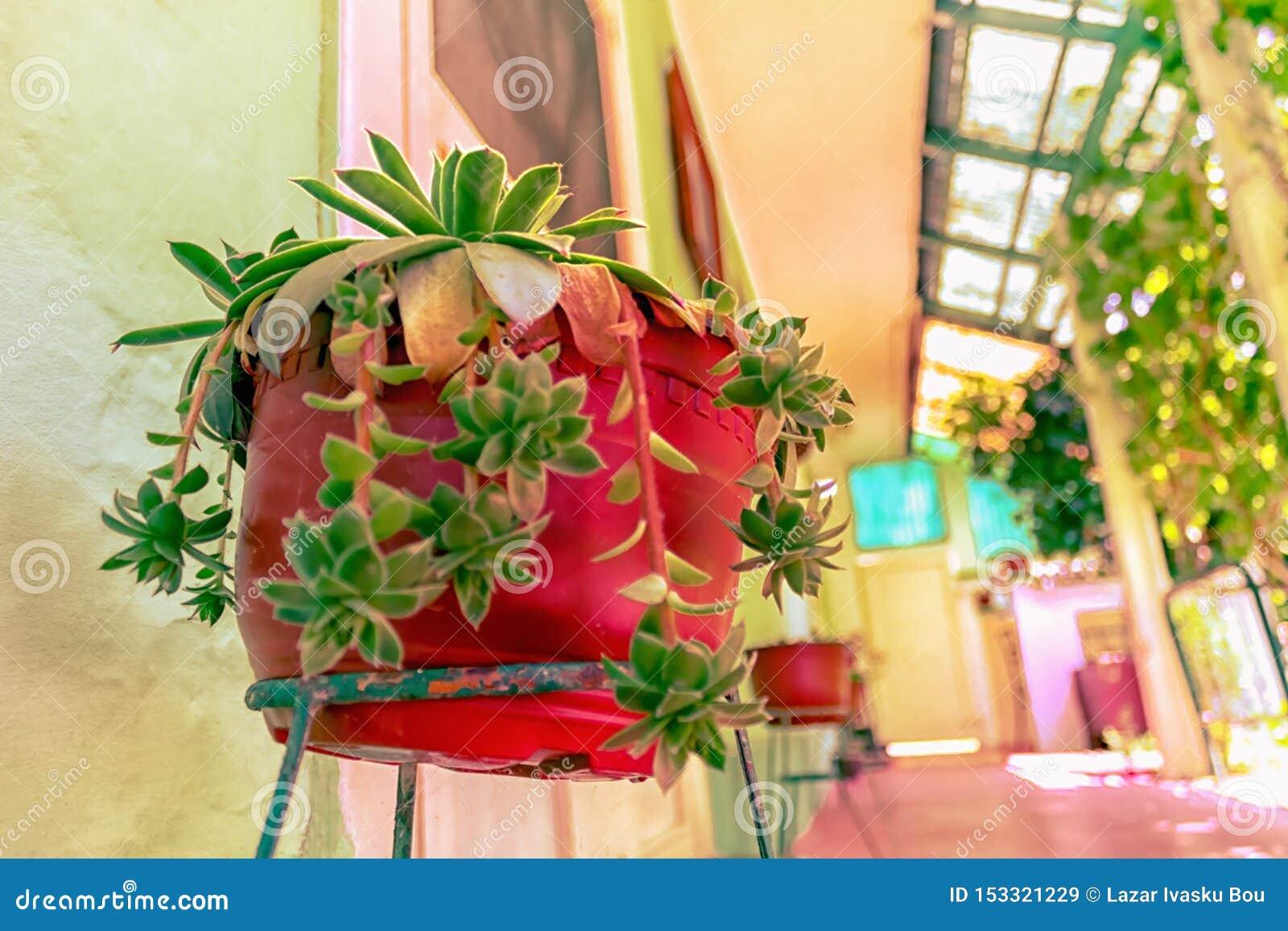 Cactus méditerranéen dans le pot rouge