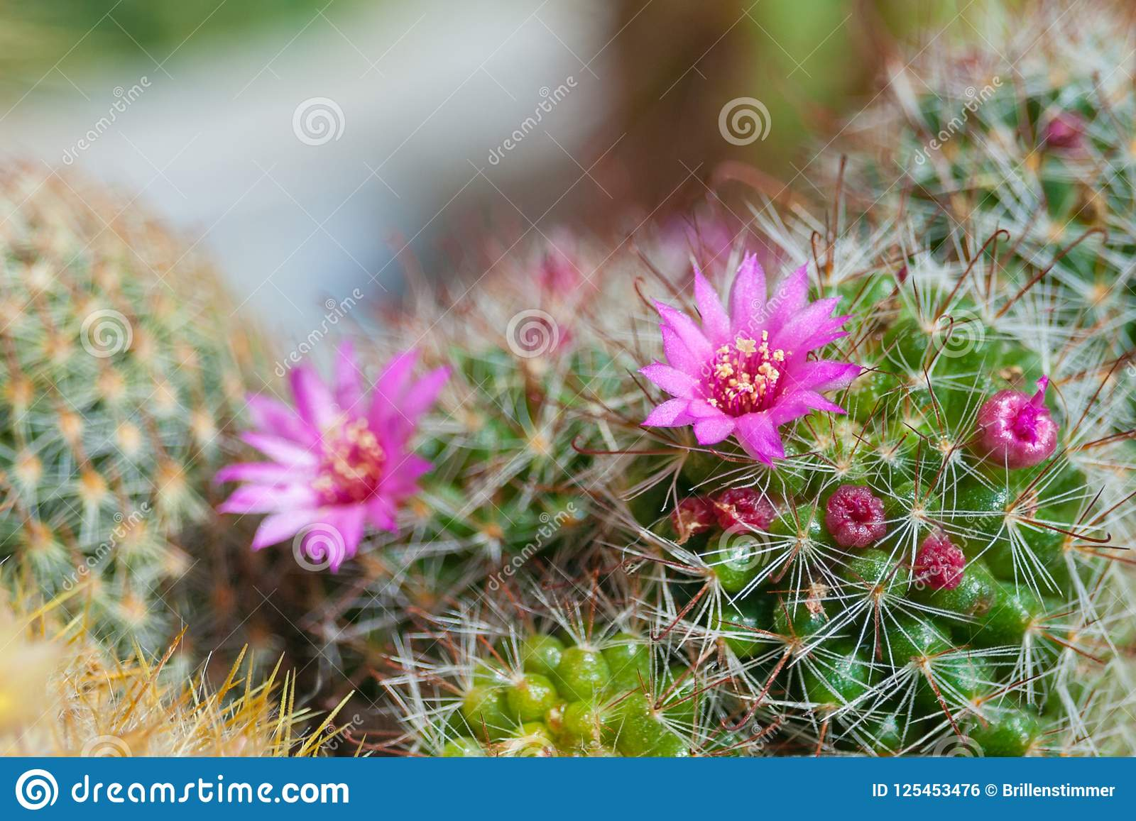 Cactus Mammillaria With Pink Flowers Stock Photo Image Of