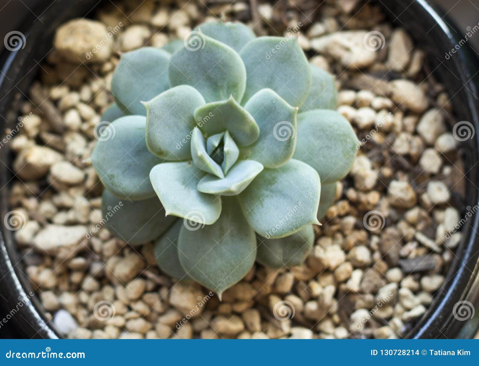 Cactus miniature dans des pots, vue supérieure
